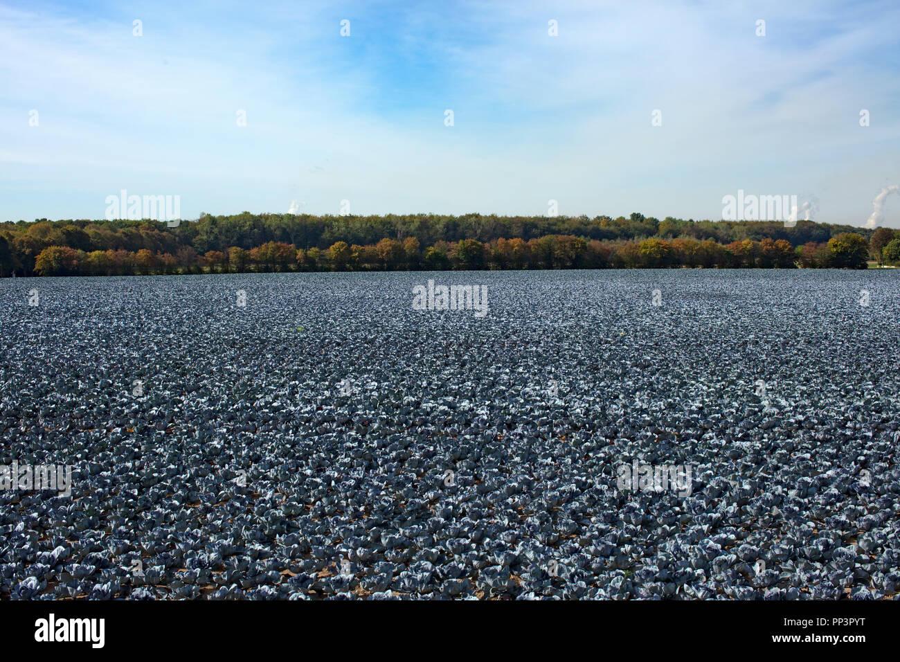 Red Cabbage field, Rotkohlfeld - Stock Image