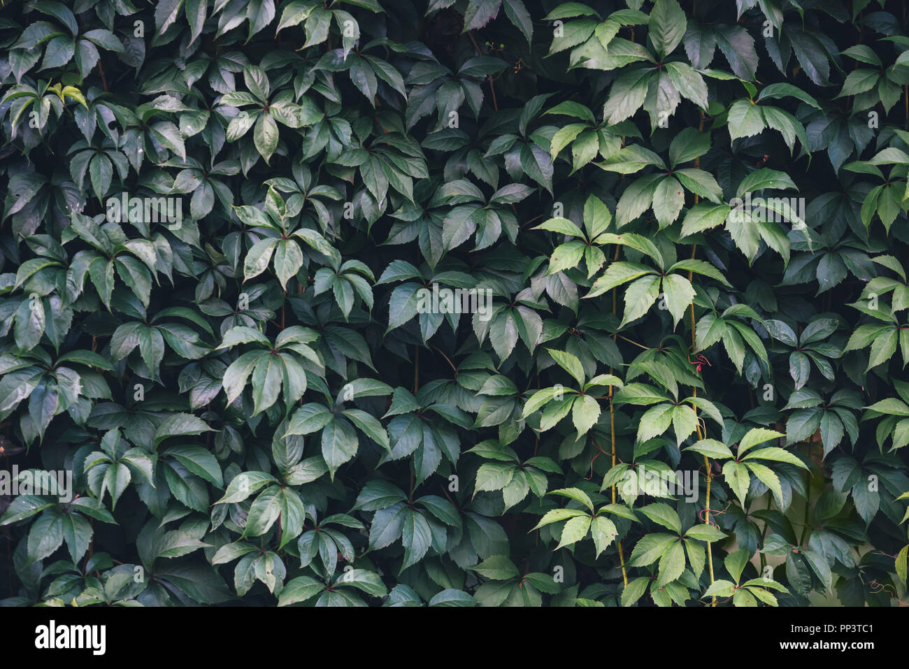 Texture of ivy leaves closeup. Green wall in garden. Gardening background - Stock Image