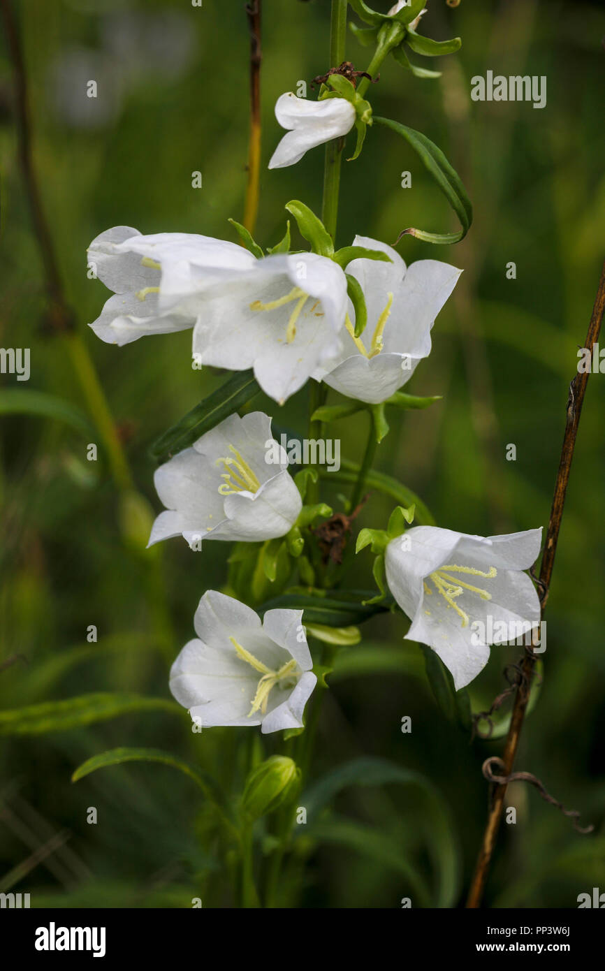 White Bell Flowers Stock Photo 220132490 Alamy