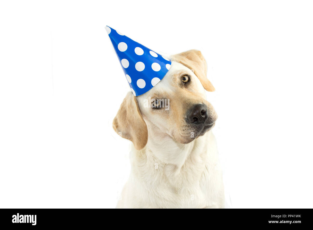 CUTE DOG CELEBRATING A BIRTHDAY PARTY TINTING THE HEAD SIDE AND LOOKING AT CAMERA WEARING BLUE POLKA DOT HAT ISOLATED AGAINST WHITE BACKGROUND C