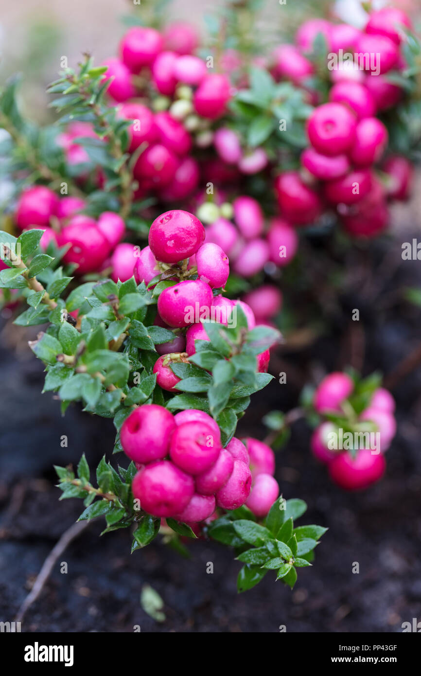Pernettya Pink.Pernettya High Resolution Stock Photography And Images Alamy