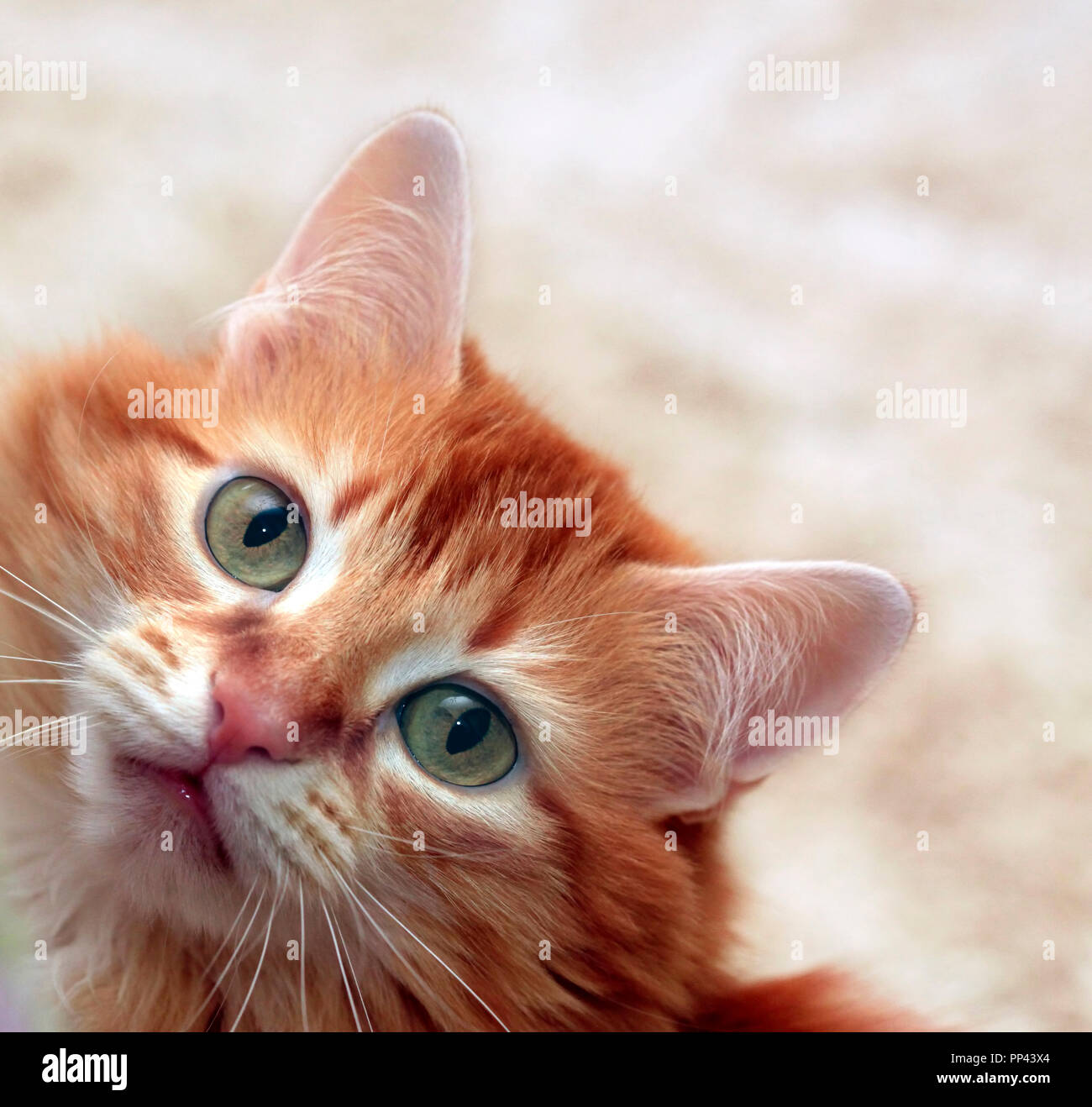 Portrait of a young red-haired cat - Stock Image