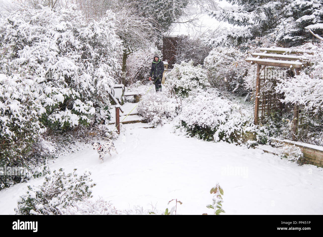 A Dalmatian dog is hard to find in a snowy English garden. Stock Photo