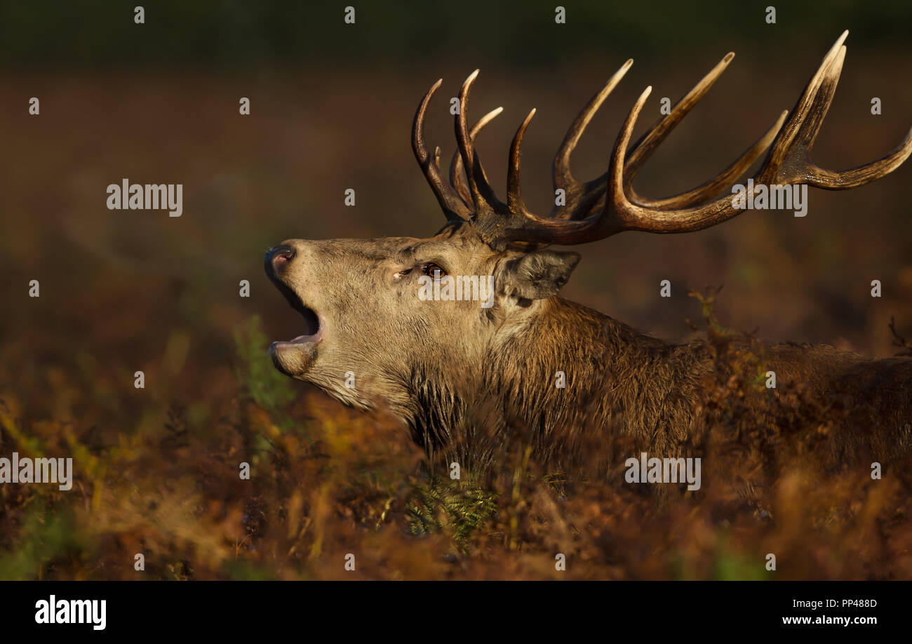 Close-up of a Red deer roaring during rut in autumn, UK. - Stock Image