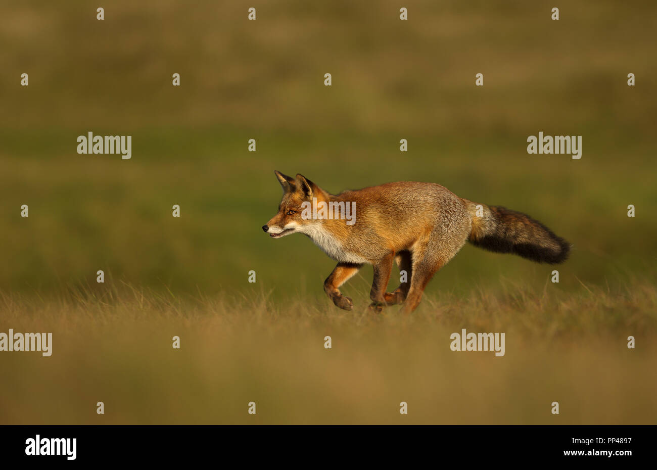 Close up of a Red fox running across the field. Stock Photo