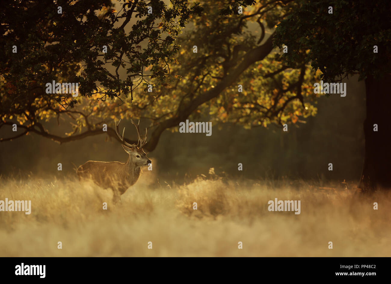 Red deer stag exhaling cold breath in early morning light, UK. - Stock Image