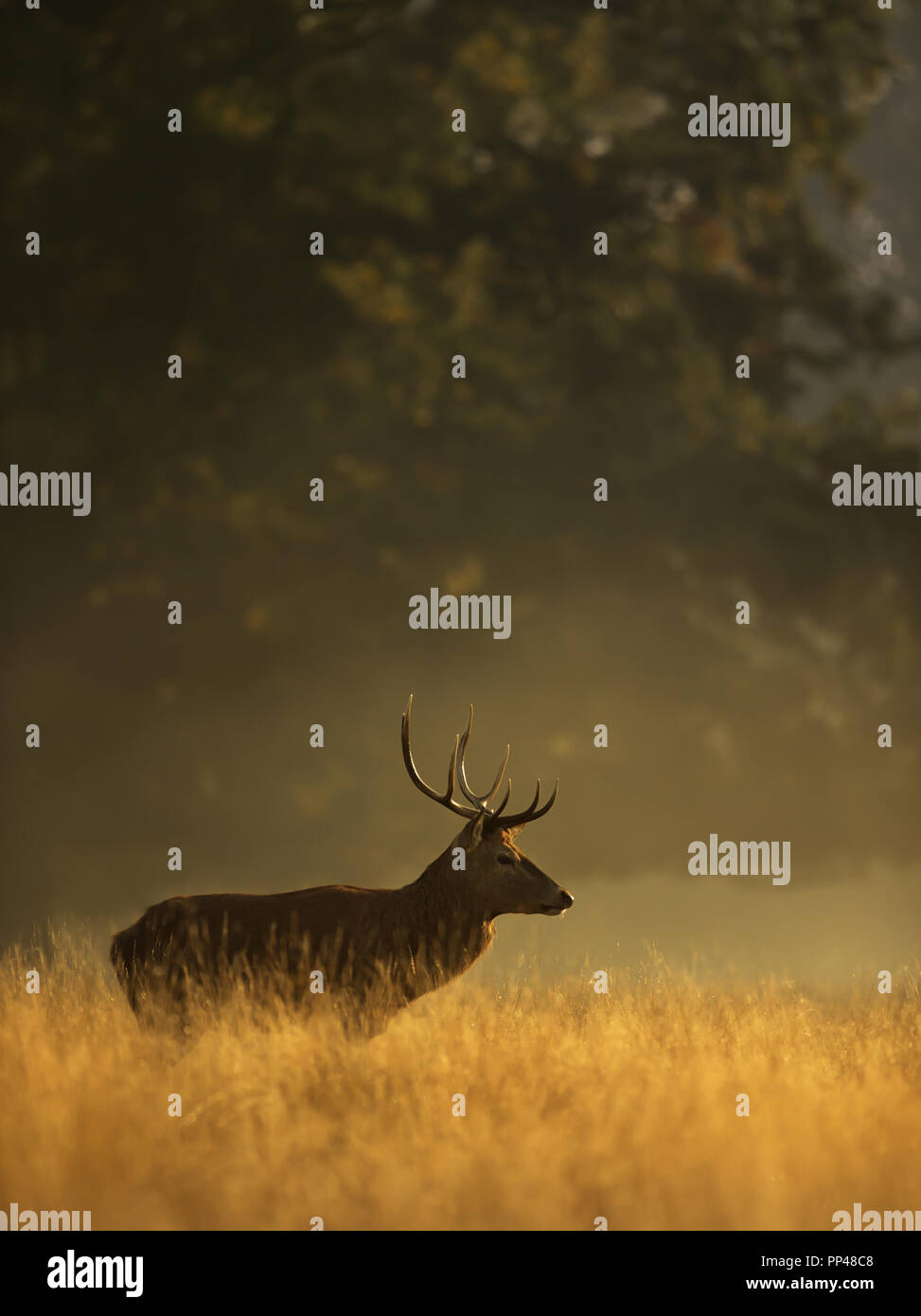 Red deer stag at sunrise, UK. - Stock Image