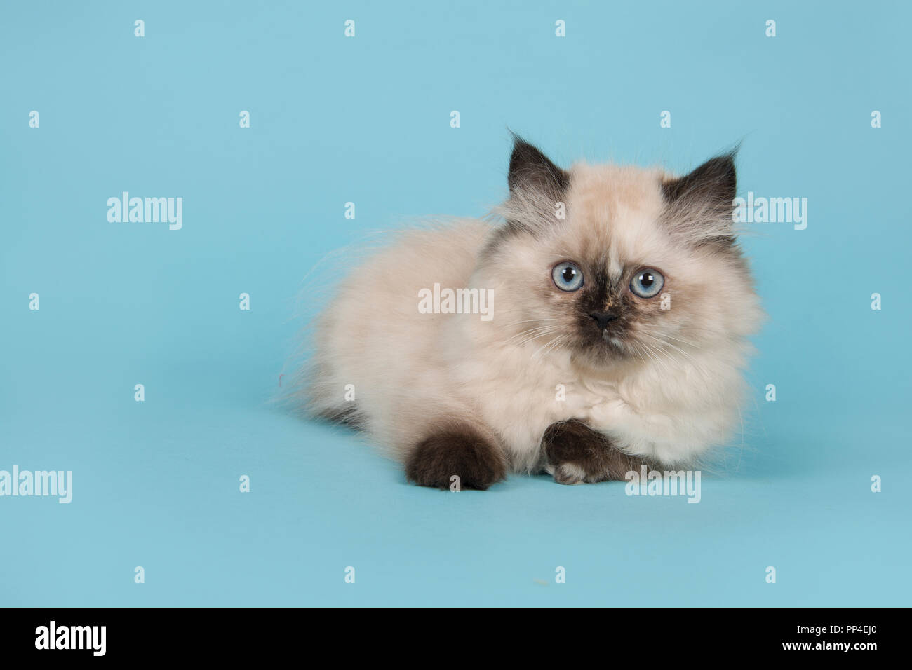 Seal Point Persian Longhair Kitten With Blue Eyes Lying On A