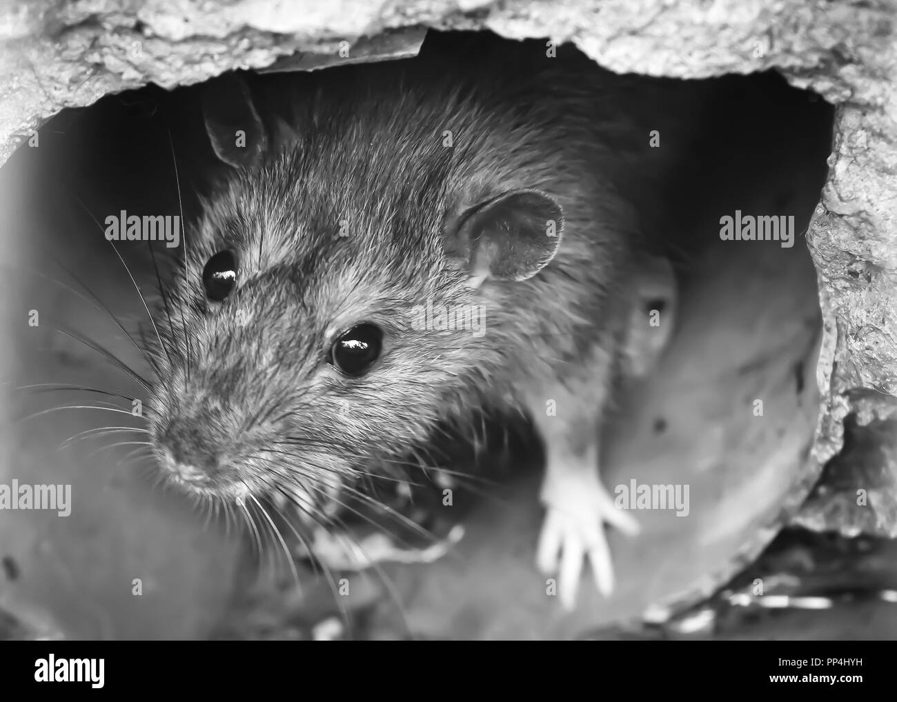 Closeup of rat on a sewer, drain grate, black and white - Stock Image