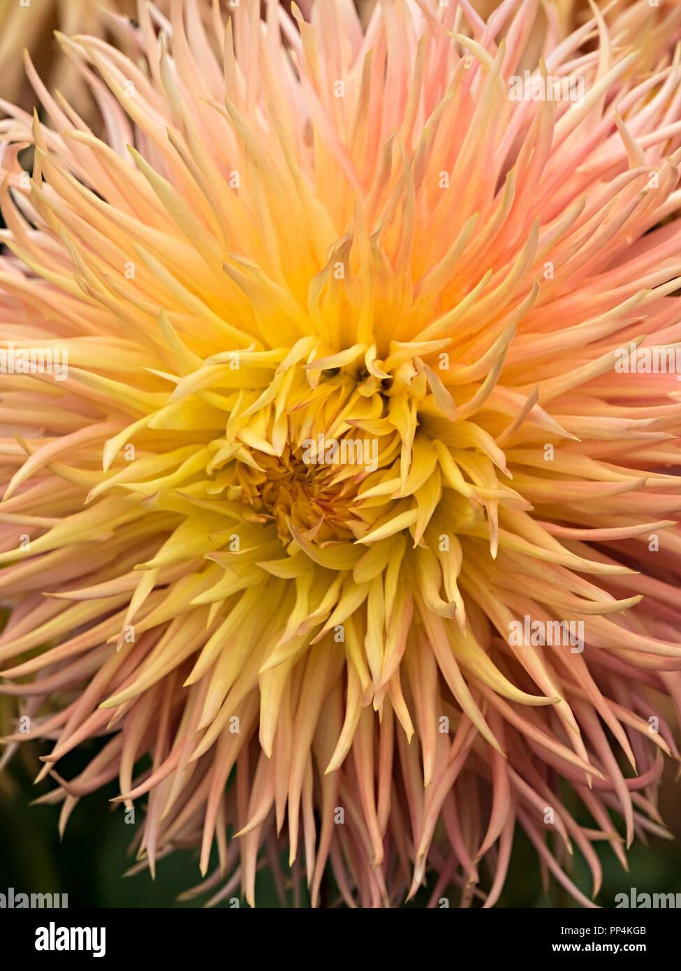 'Normandie Frills' Dahlia flower closeup, Derbyshire, England, UK - Stock Image