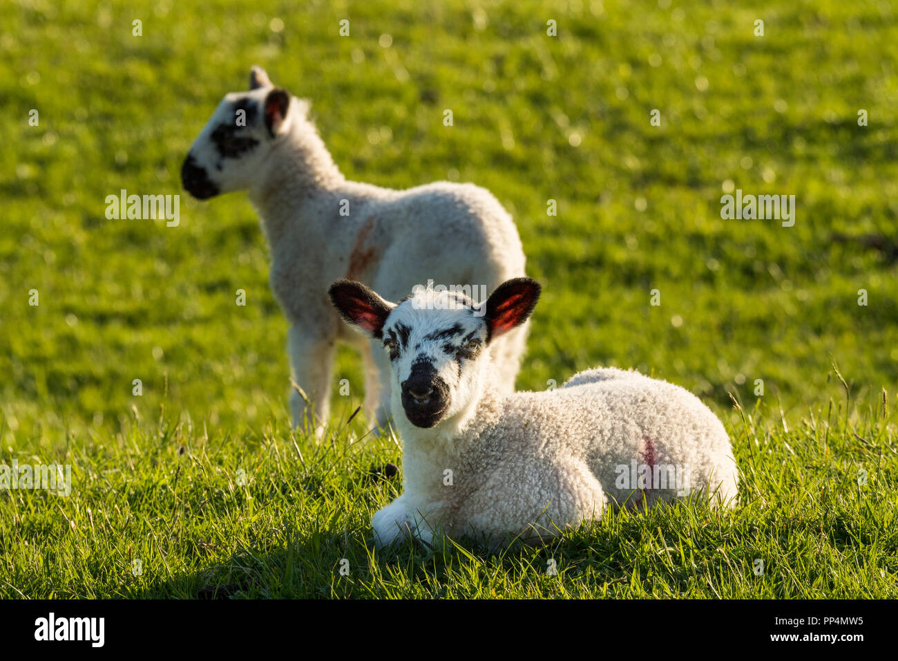 Front view of 1 cute lamb, ears pricked, laying down on lush green grass, in sunlit farm field, its friend standing nearby - Yorkshire, England, UK. - Stock Image