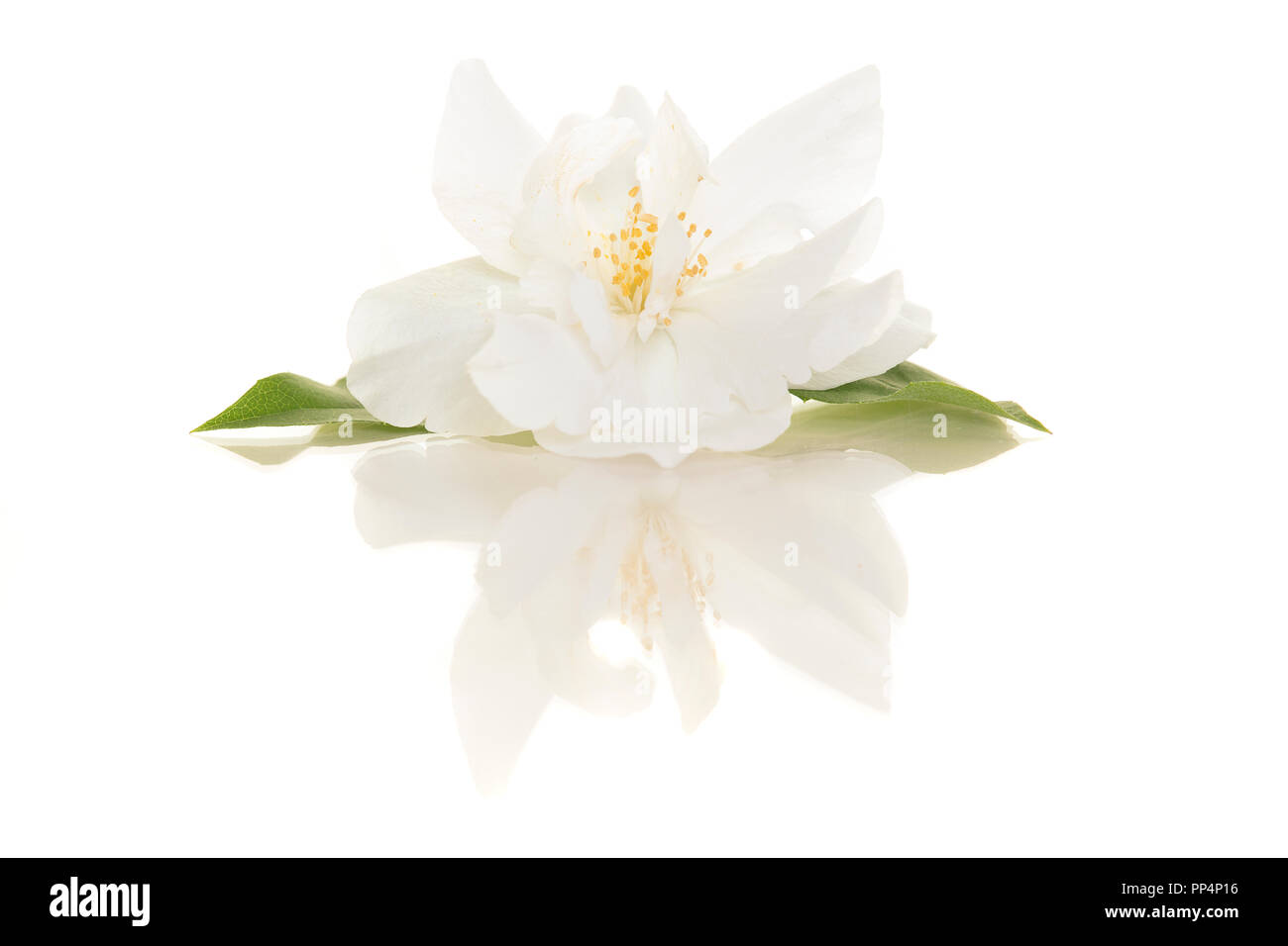 Blooming Single Jasmine Flower On A White Background With Its