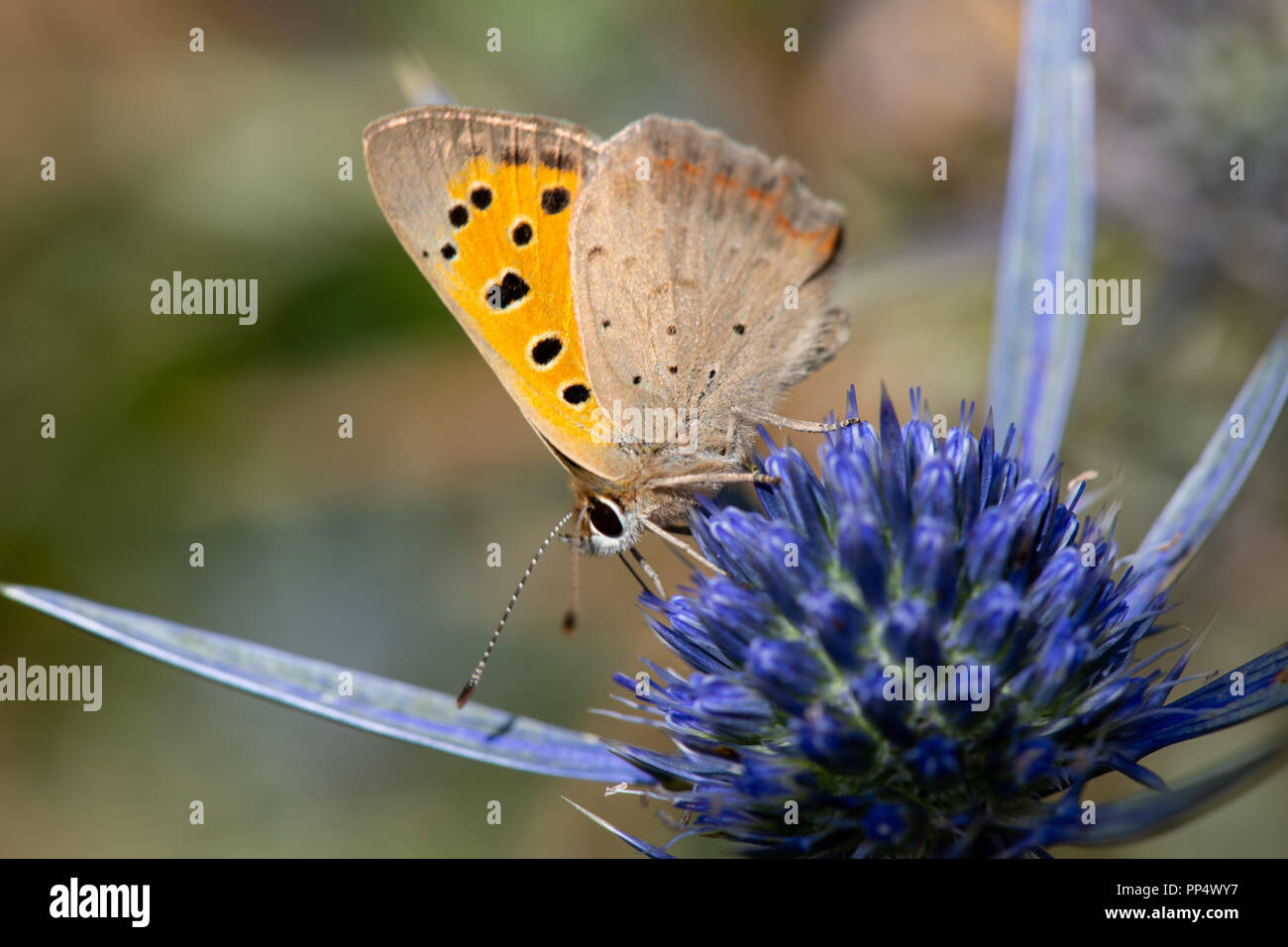 Small Copper Butterfly - Stock Image