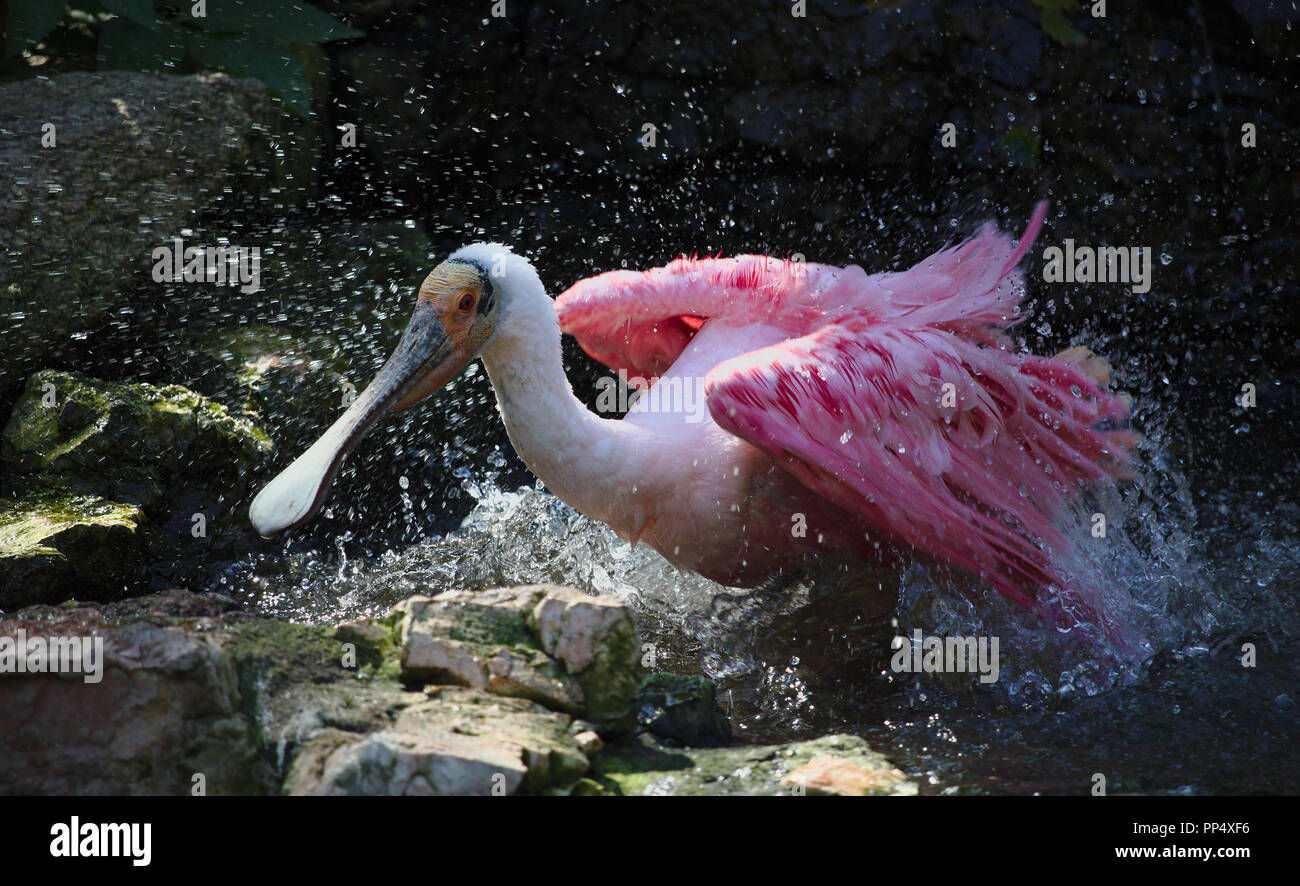 Roseate spoonbill taking a bath Stock Photo