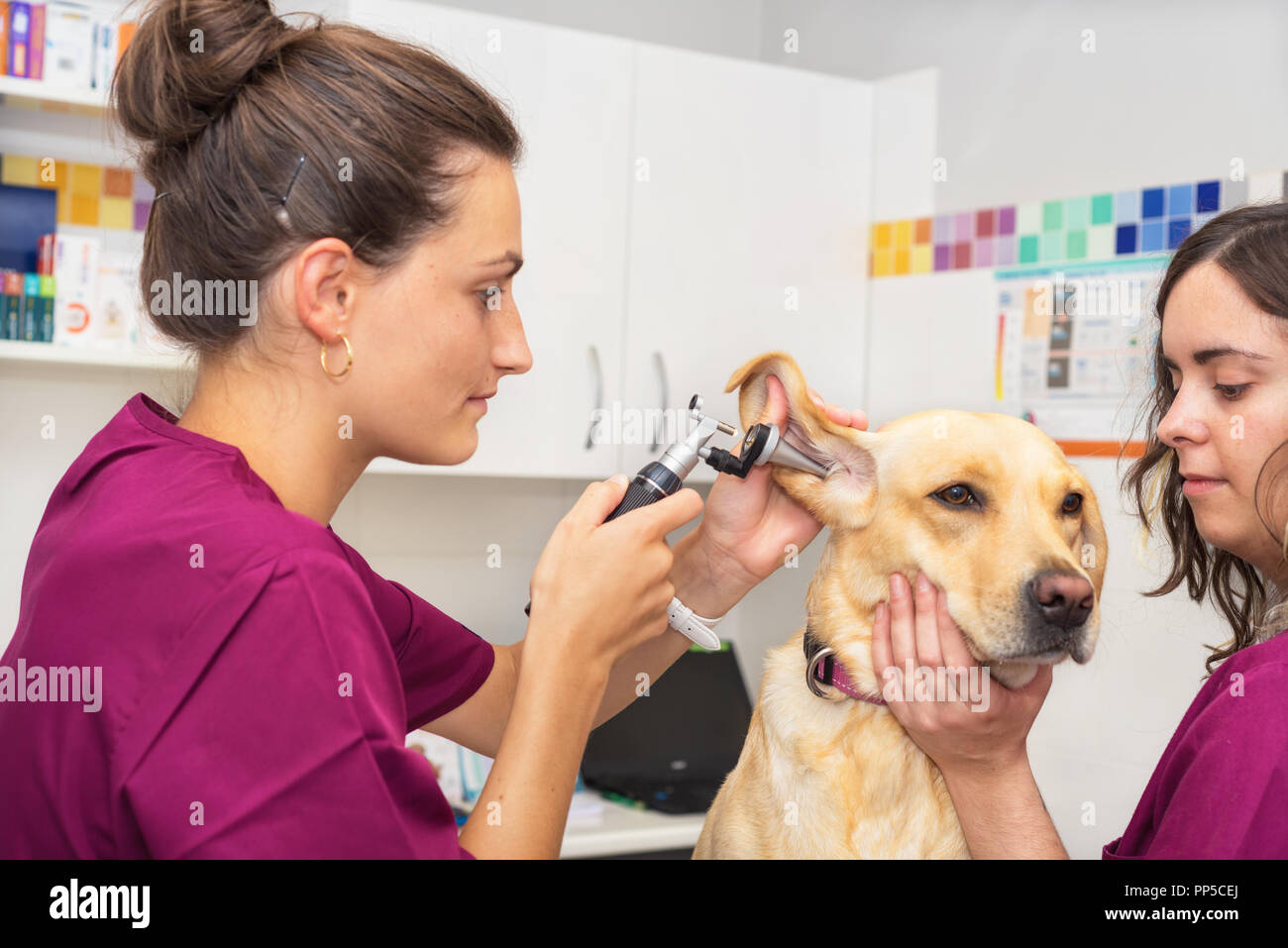 Hearing checkup of a dog in veterinary clinic - Stock Image