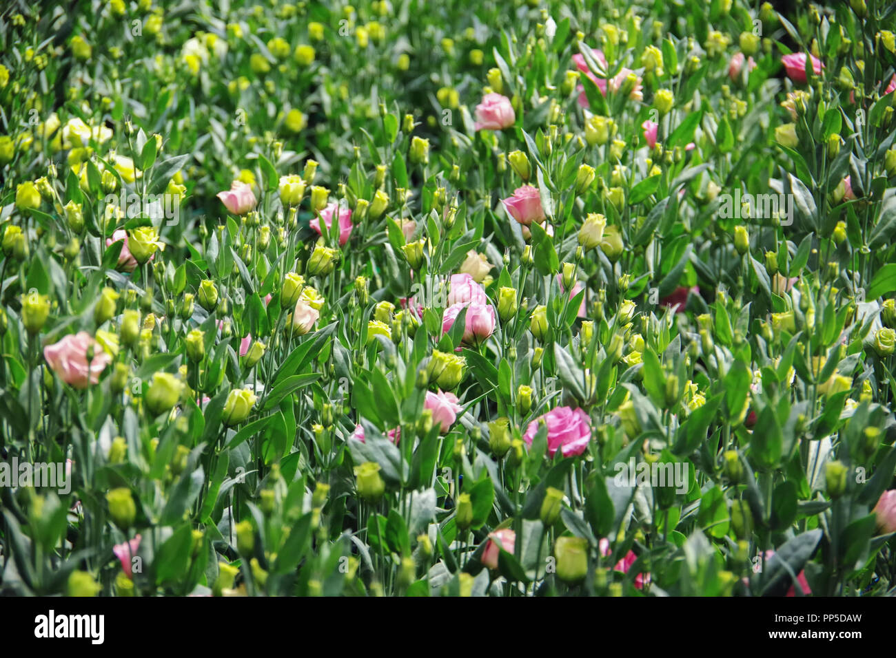 Background with lisianthus flower or auspicious flowers farm - Stock Image