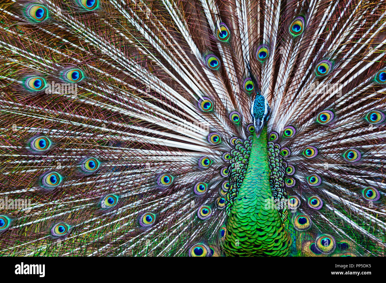 Portrait of wild male peacock with fanned colorful train. Green Asiatic peafowl display tail with blue and gold iridescent feather. - Stock Image