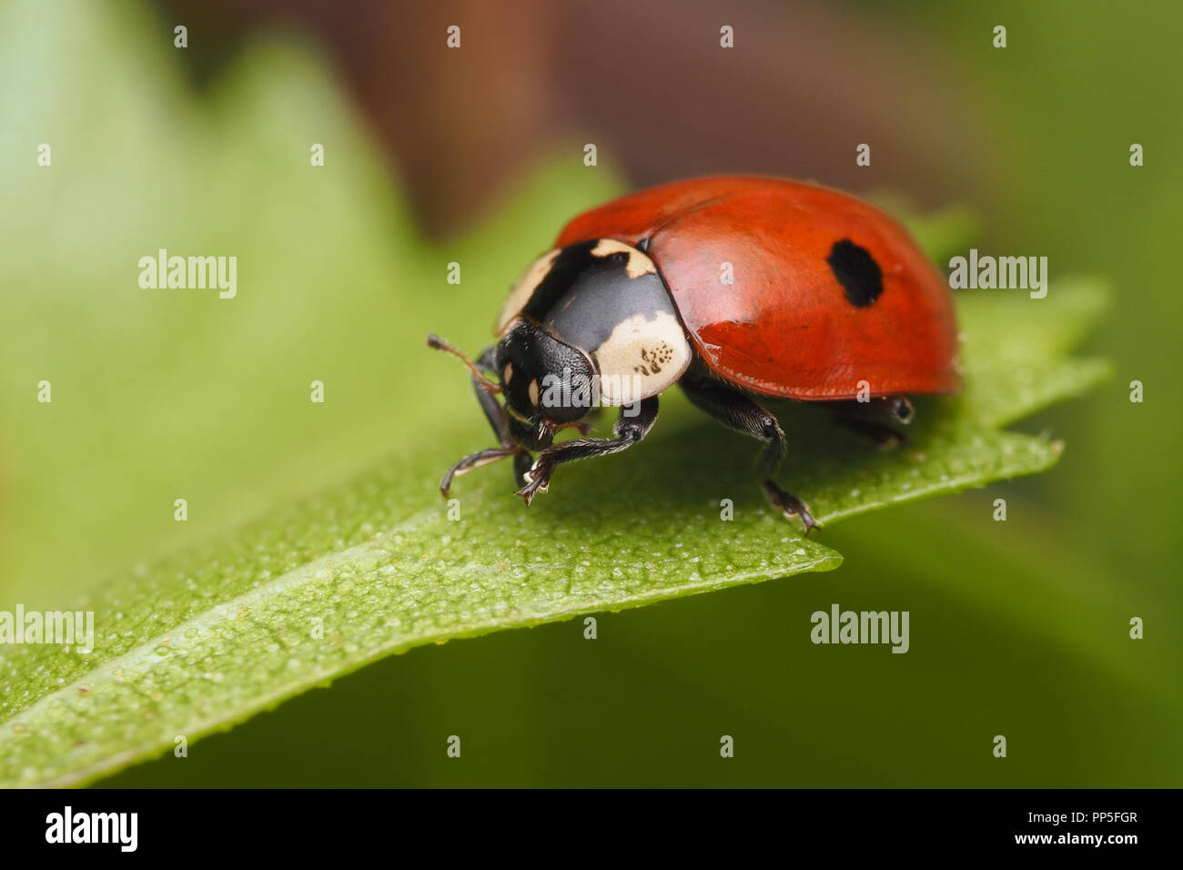 2 Spot Ladybird Adalia Bipunctata Crawling Along Birch Leaf Tipperary Ireland