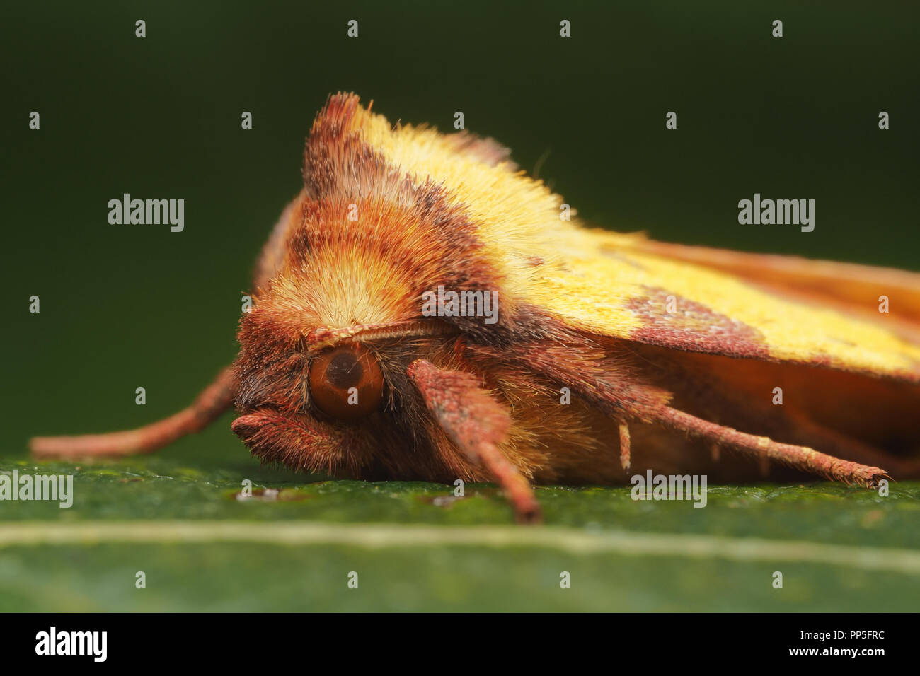 Pink-barred Sallow moth (Xanthia togata) close up of the head. Tipperary, Ireland - Stock Image