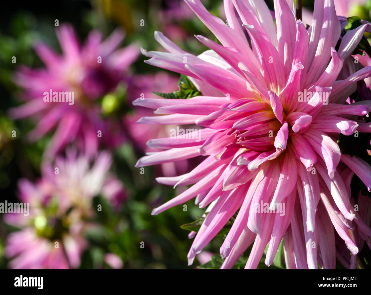 Long thin petals stock photos long thin petals stock images alamy variety of chrysanthemum amy k asteraceae plant one large pink flower with a yellowish core mightylinksfo