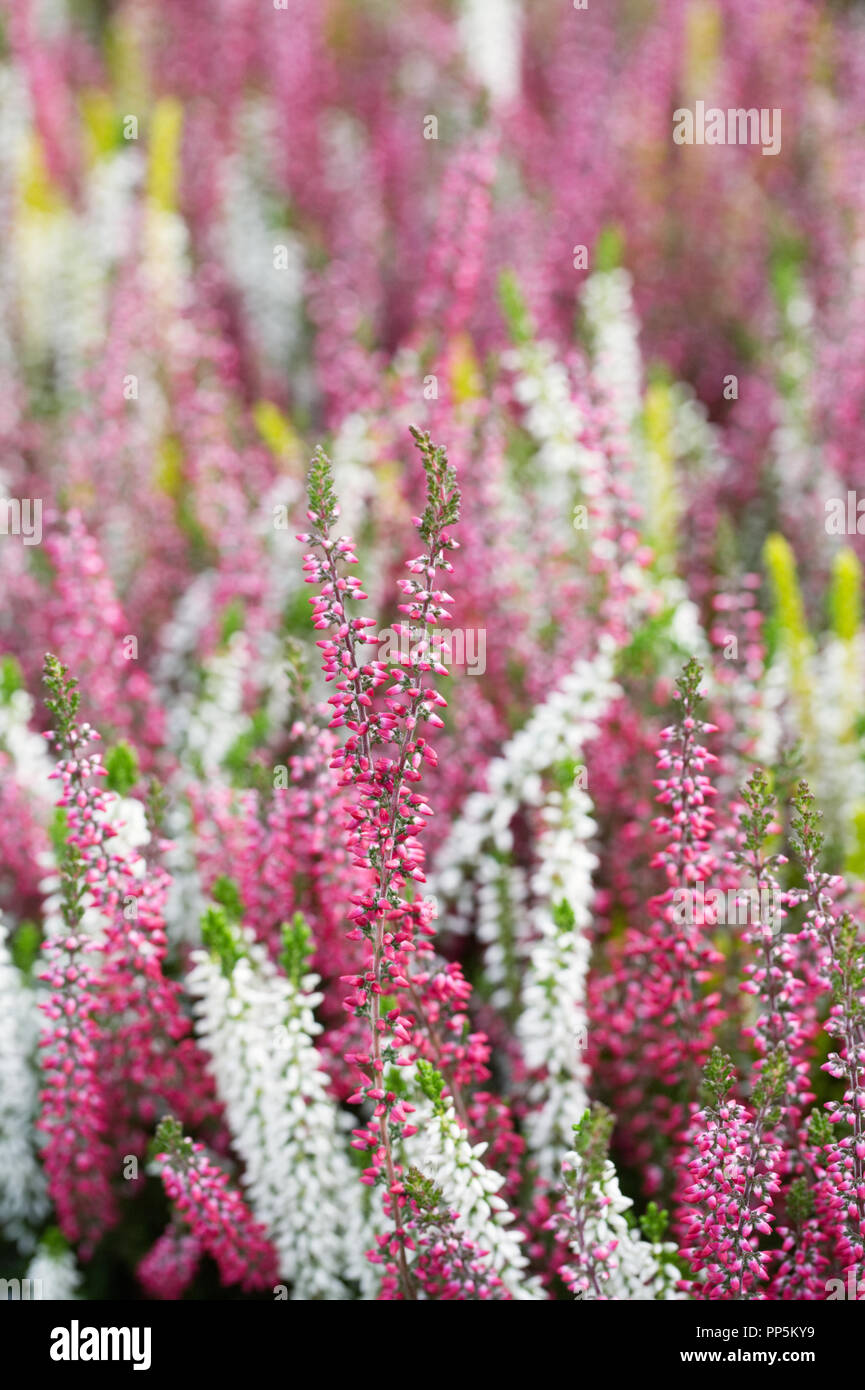 Calluna Vulgaris Beauty Ladies Flowers Stock Photo 220172269 Alamy