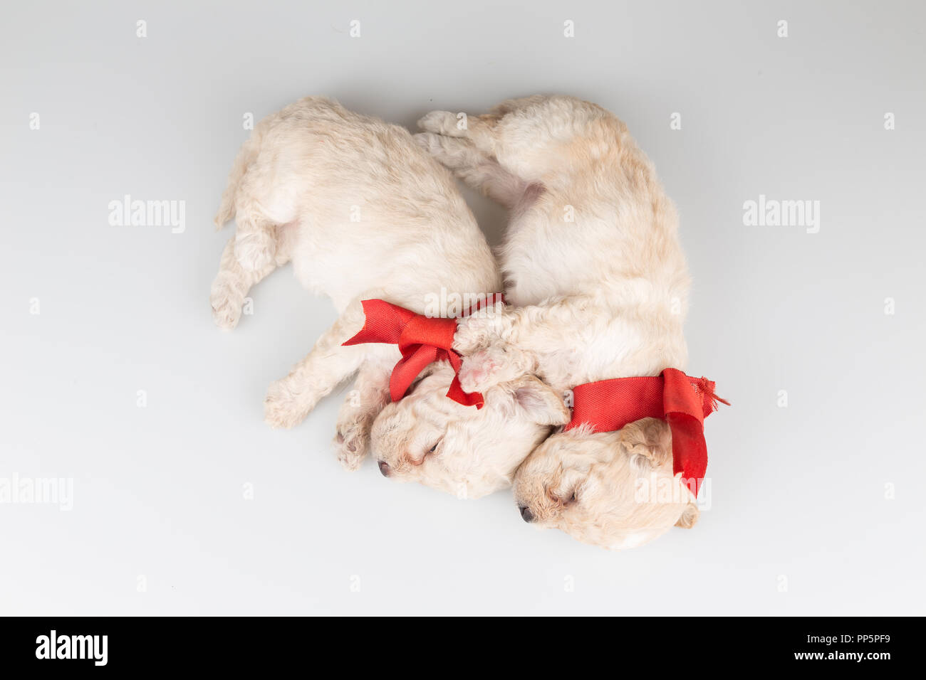 Cute puppies sleeping top view - Stock Image