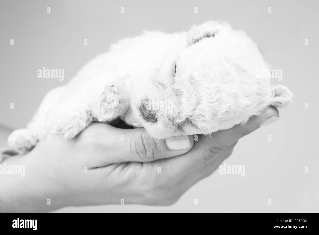 Hand holding a puppy isolated in grey background. - Stock Image