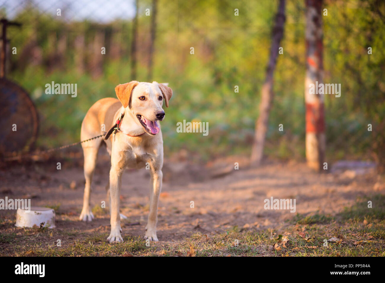 Domestic dog chained in garden - Stock Image