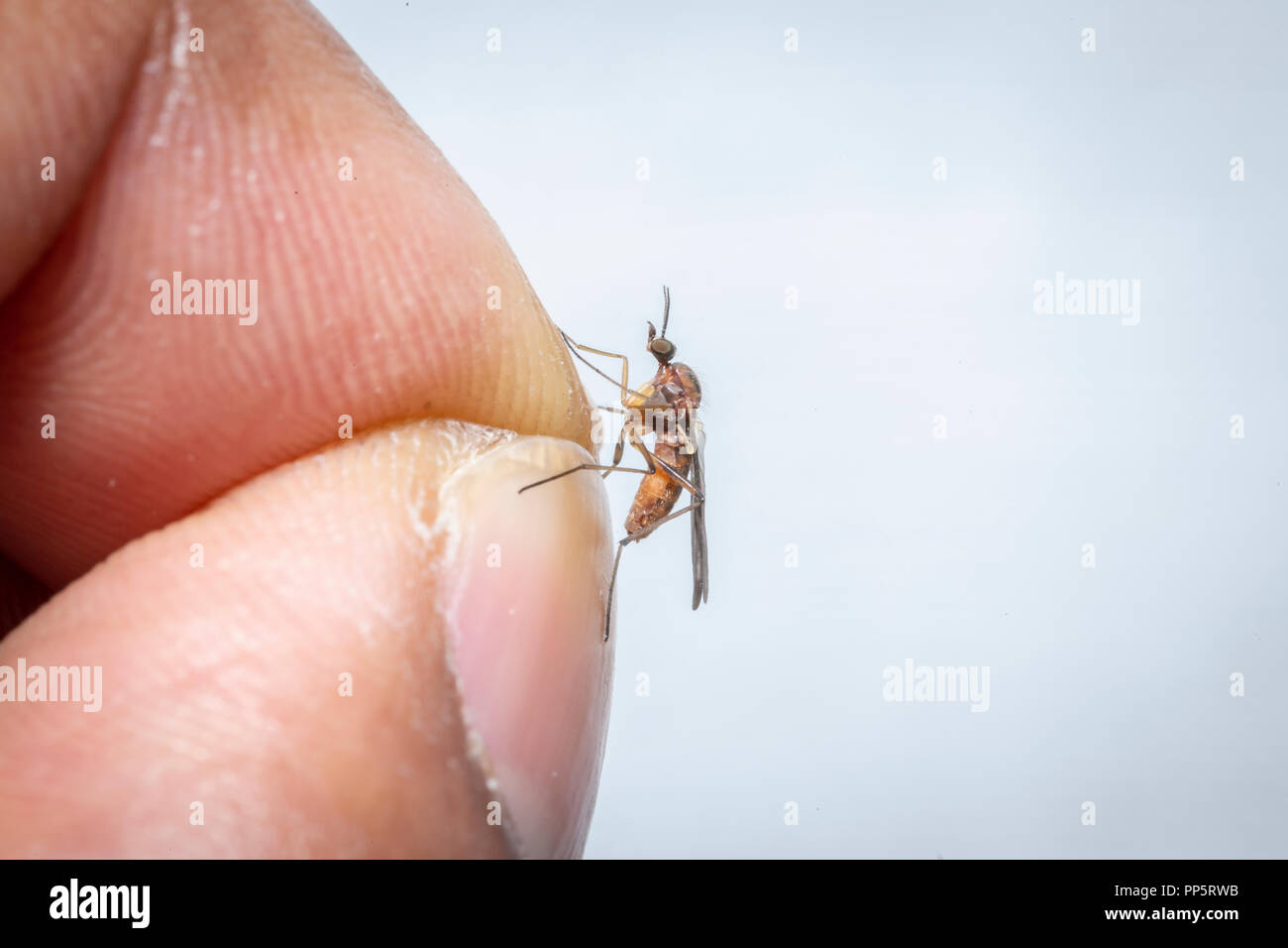 mosquito on a pinch of finger - Stock Image