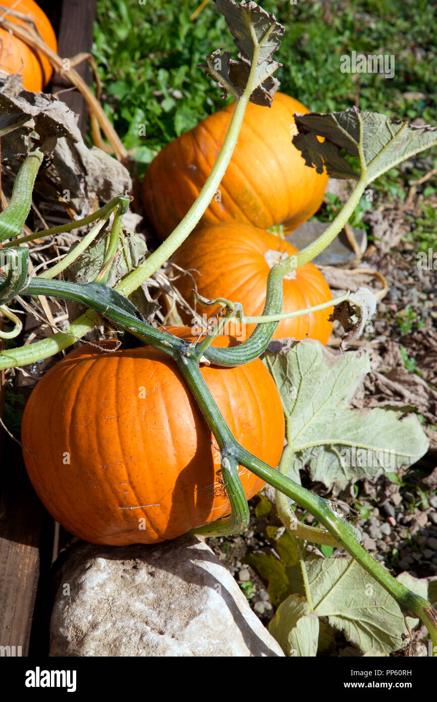 Pumpkins growing the the Carrickmacross Allotments - Stock Image