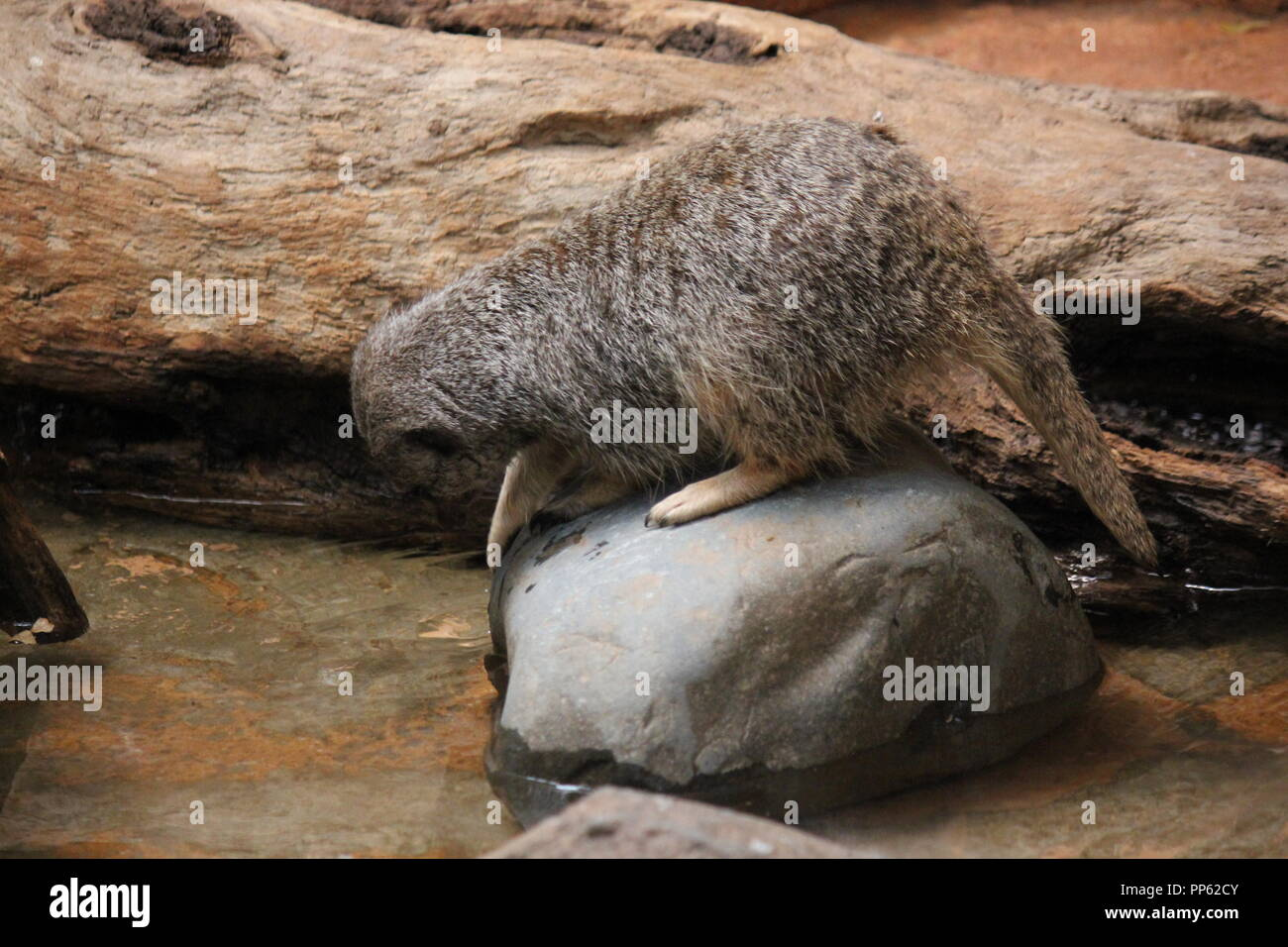 Lincoln Park Zoo's Meerkat, Suricata suricatta, S. suricatta , playing around the water and sitting on a rock in Chicago, Illinois. - Stock Image