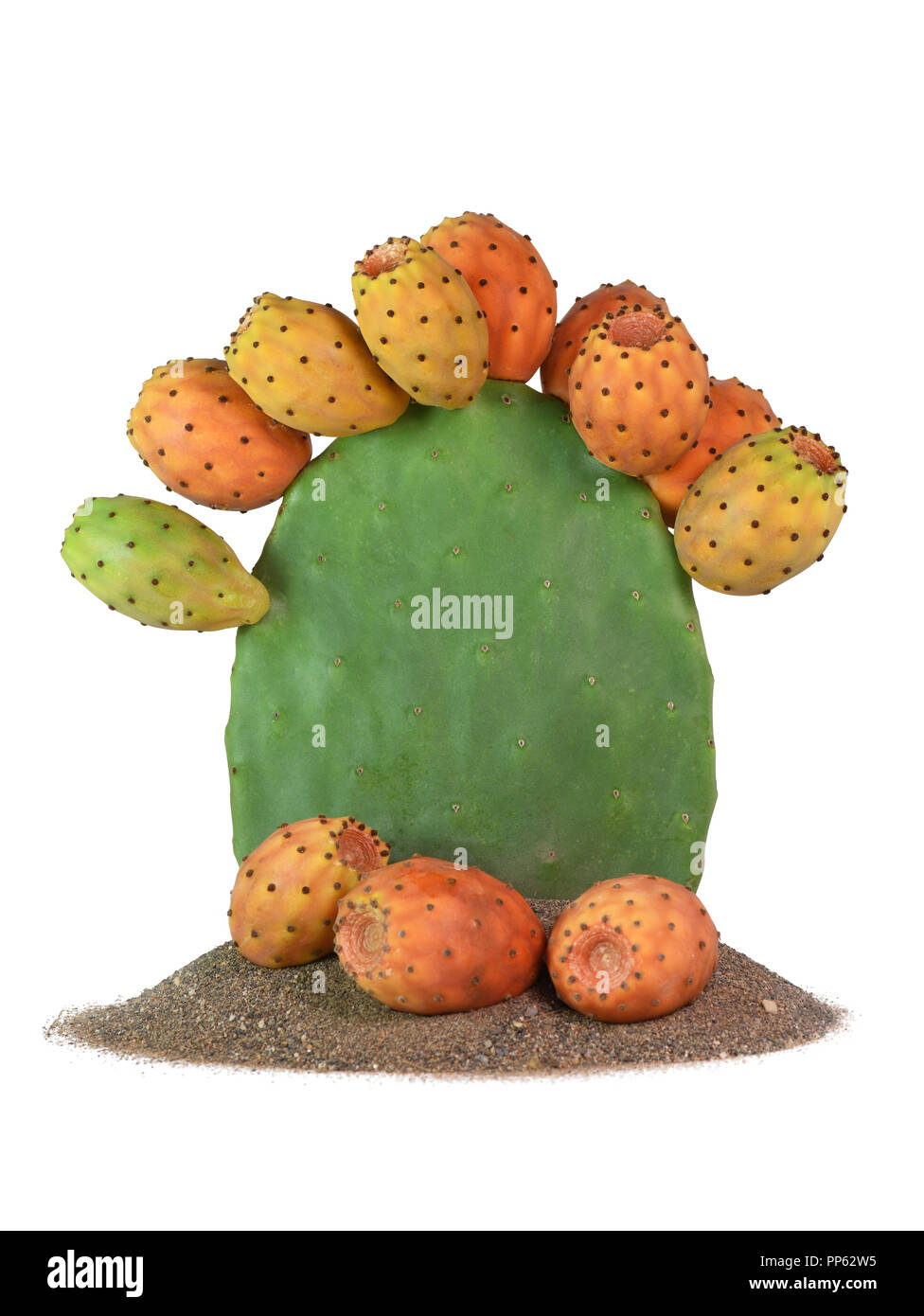 isolated prickly pear cactus full fruit  plant on sand with figs on the base vertical with copy space on subject. - Stock Image