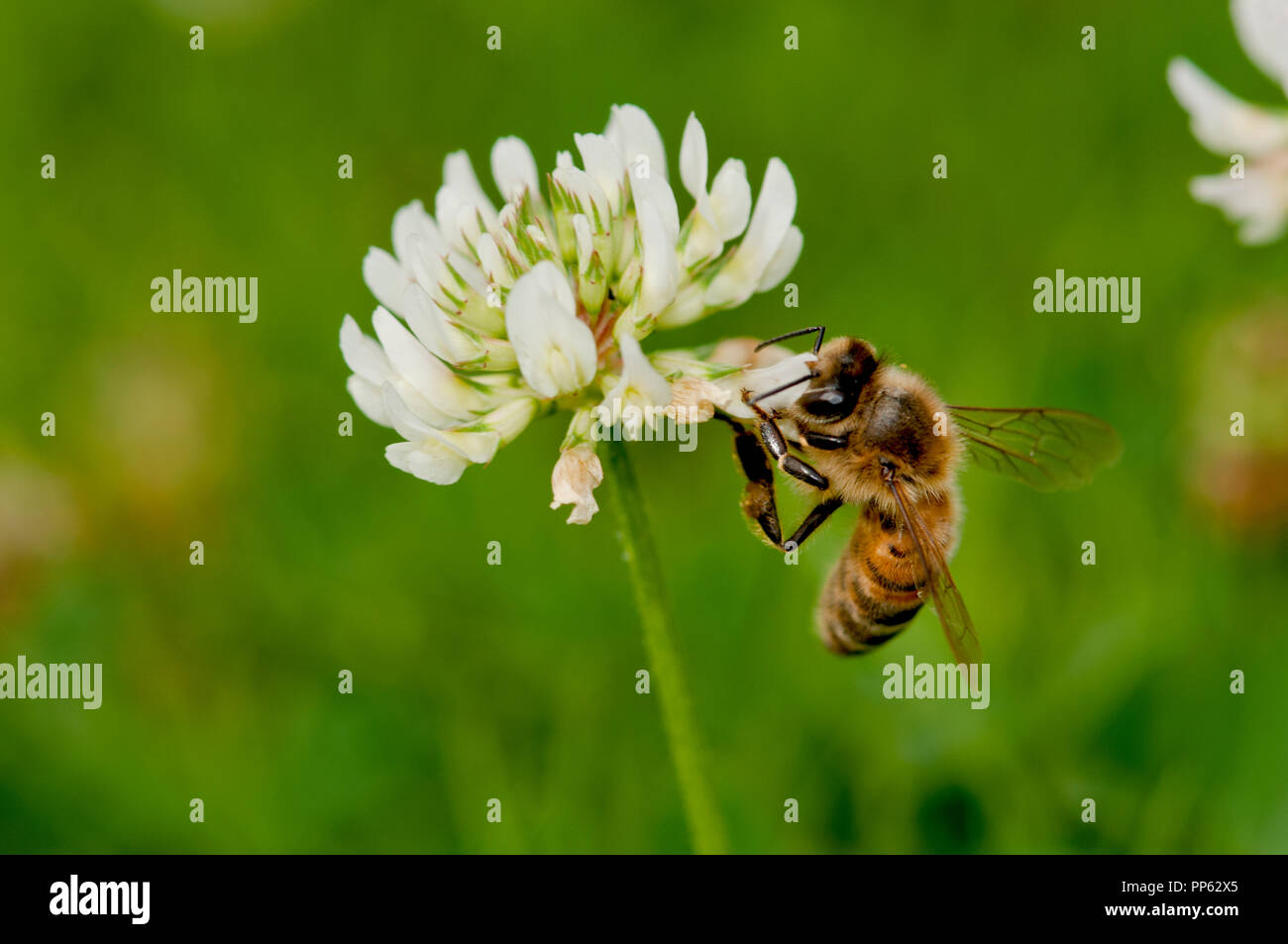 Honeybee (Apis mellifera) feeding on clover (Trifolium sp.) on a lawn in Boise, Idaho, USA - Stock Image
