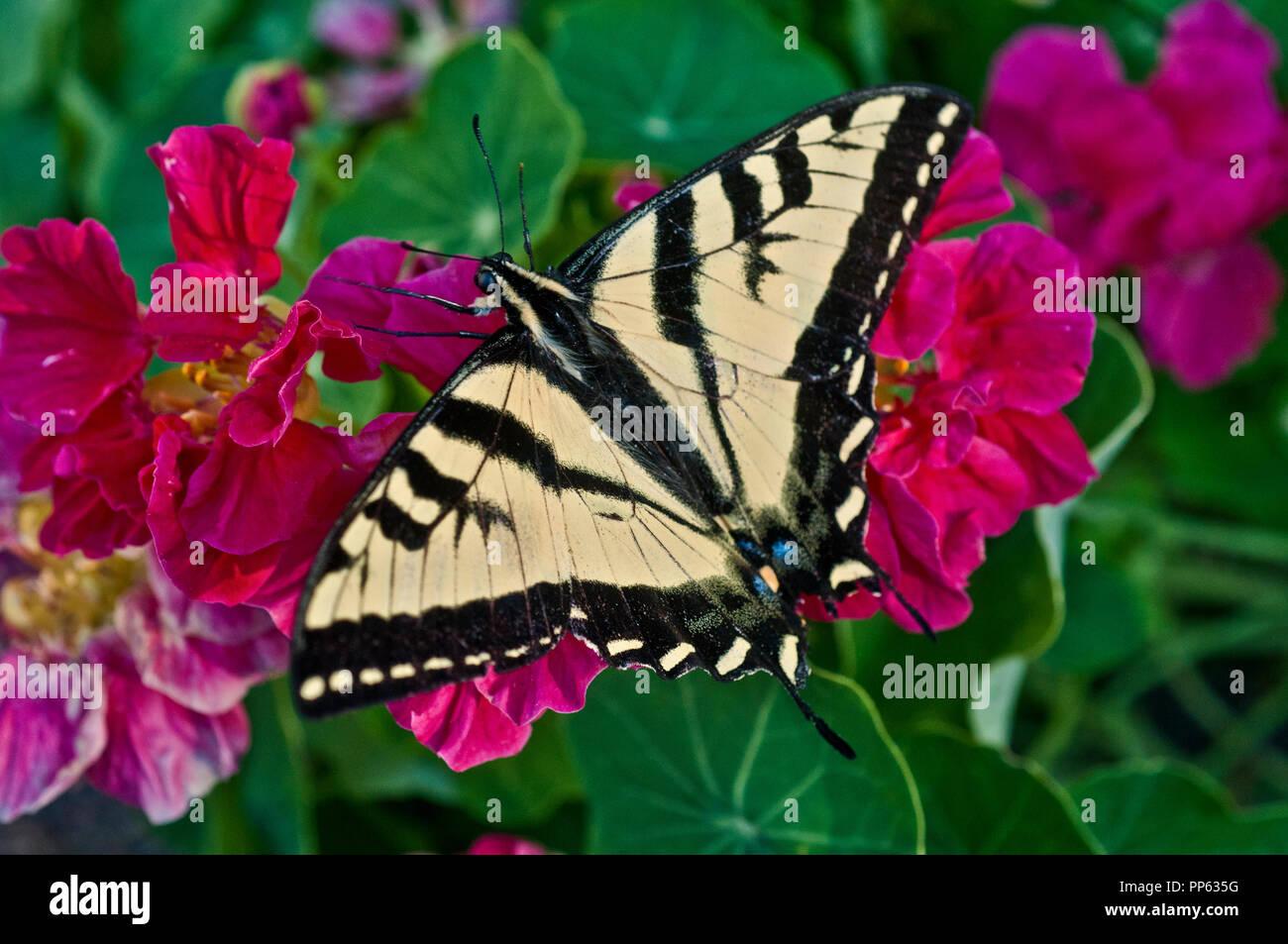 Western tiger swallowtail (Papilio rutulus) on nasturtium Stock Photo