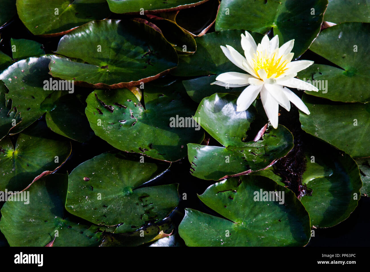 Nature Wallpaper Background Of White Lotus Flower Also Known As