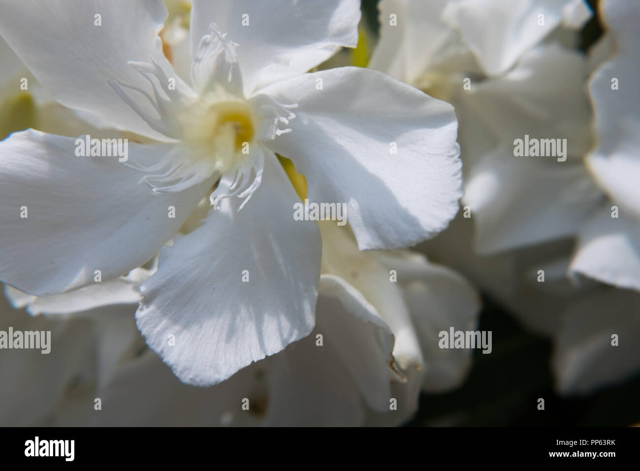 Blooming White Nerium Oleander Flower And Buds In A Green Garden