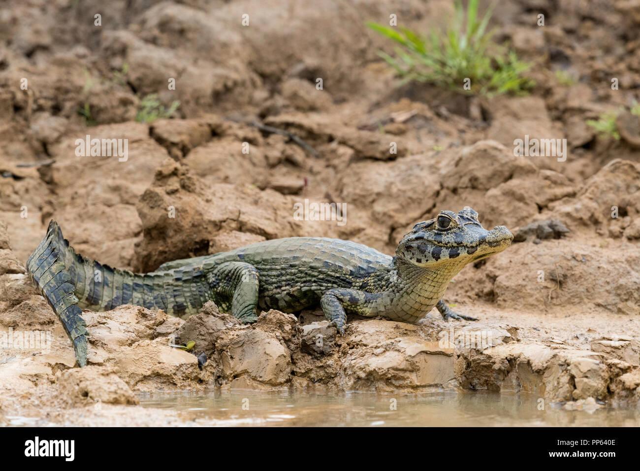 A young yacare caiman, Caiman yacare, on the riverbank near Porto Jofre, Brazil. - Stock Image