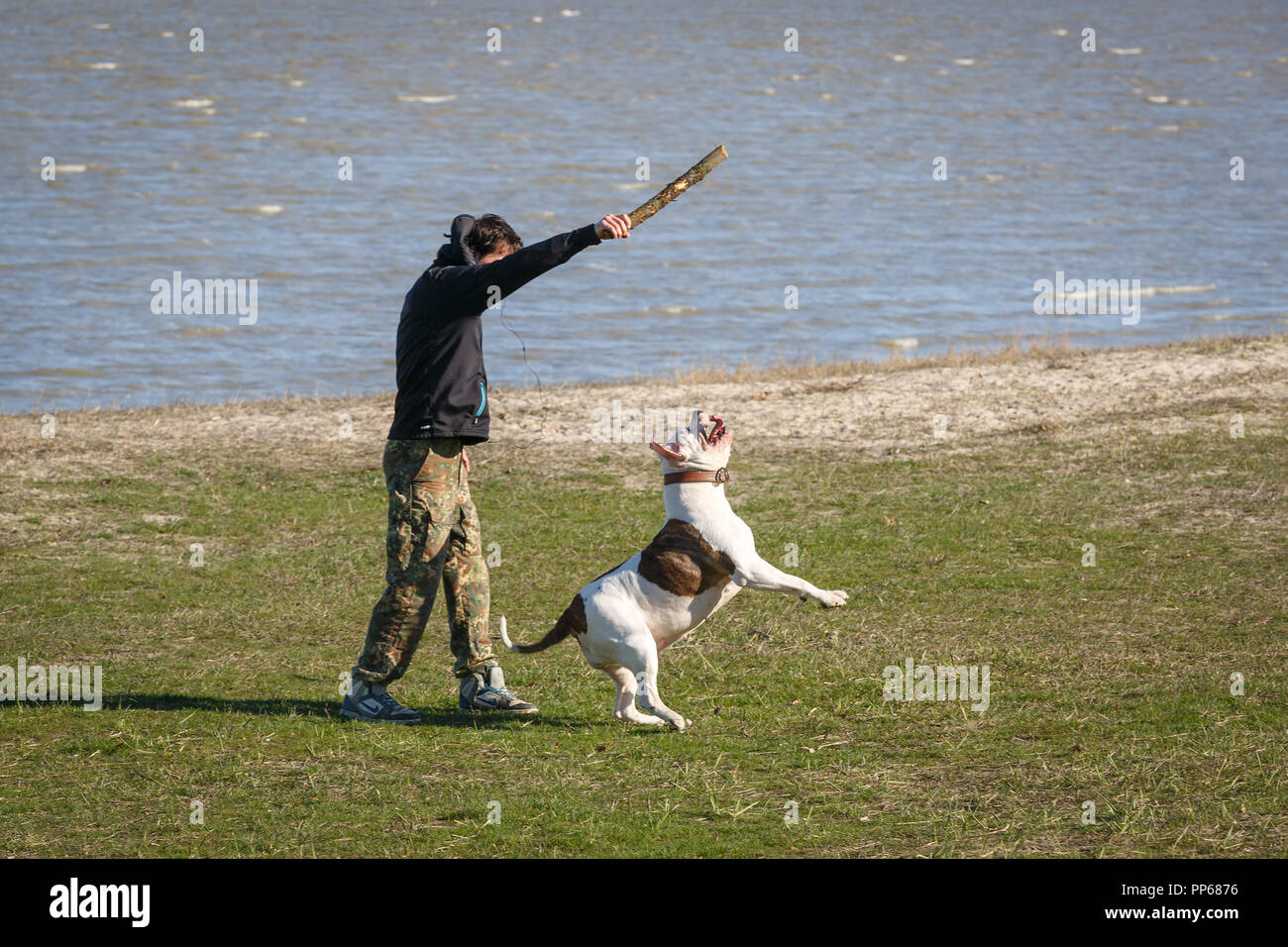 RUSSIA, TAGANROG, 08 MARCH 2016: Guy throws a stick to the white pitbull, so that he brings it to the owner - Stock Image