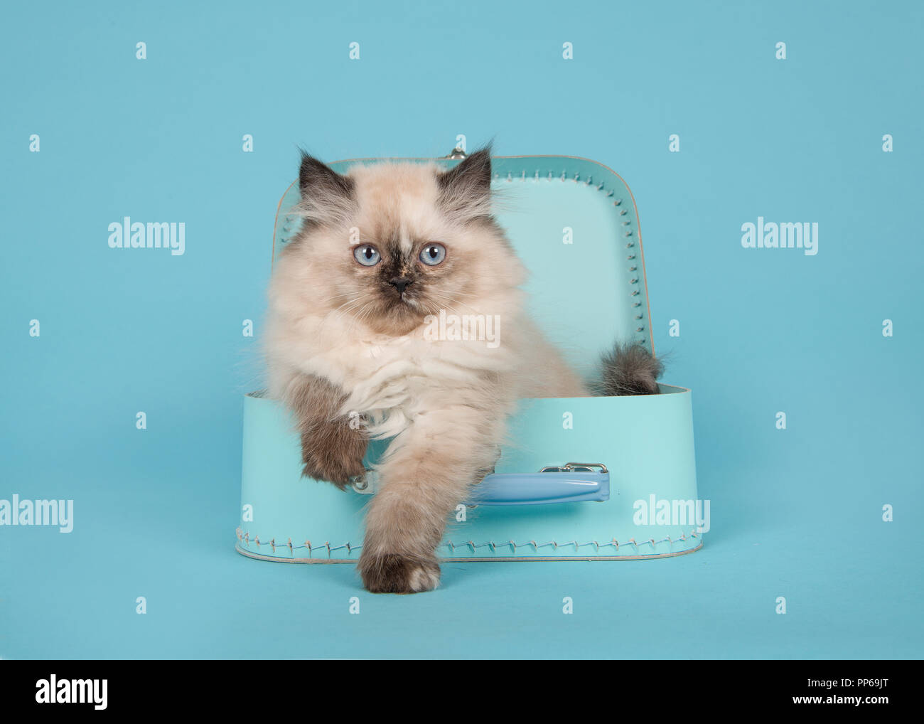 Seal Point Persian Longhair Kitten With Blue Eyes In A Blue
