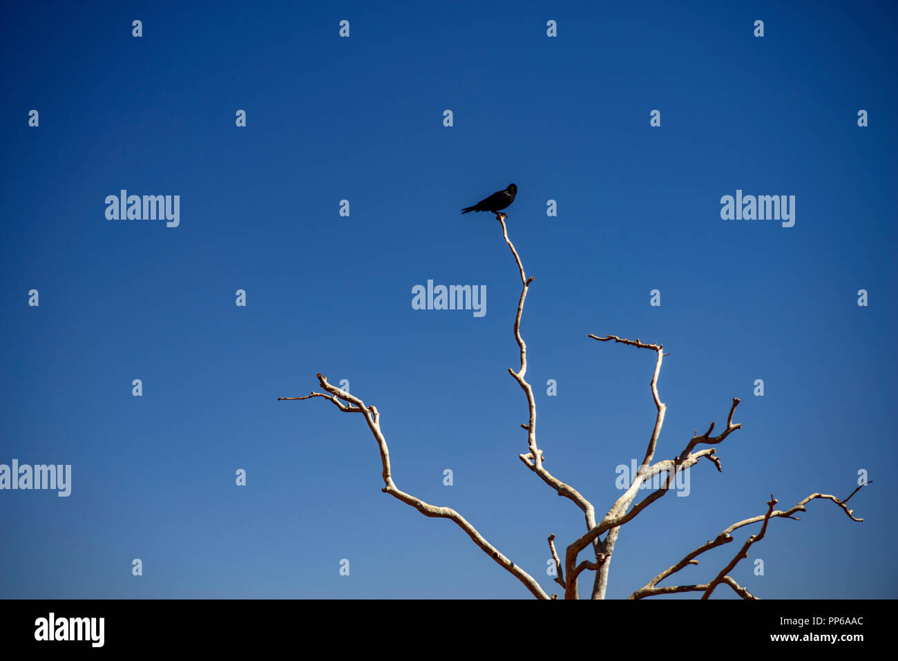 Black crow, raven, .Corvus coronoides.  sitting on a dead tree, Western Australia - Stock Image