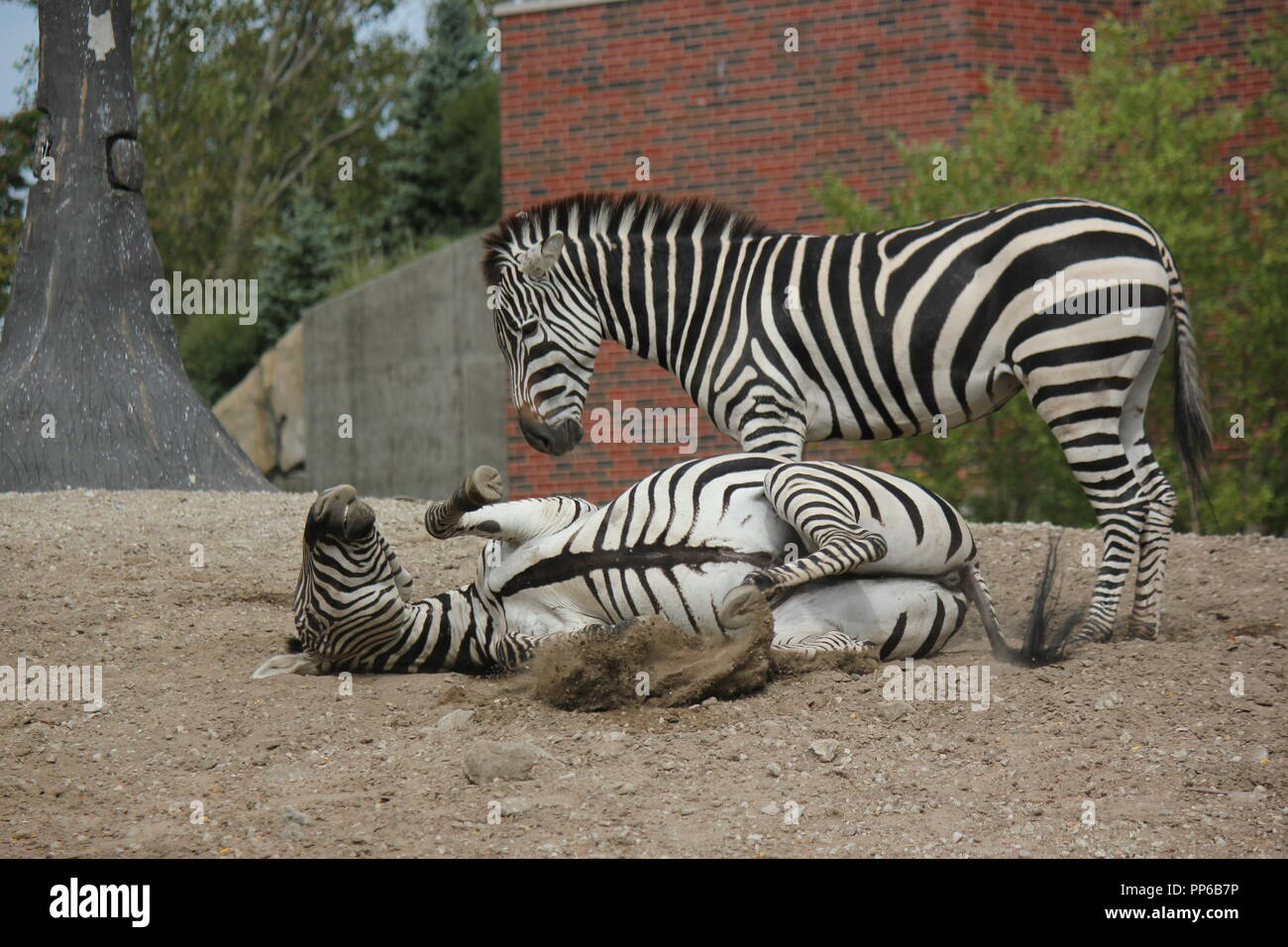 Lincoln Park Zoo's pair of adult zebras romping and rolling around their area. - Stock Image