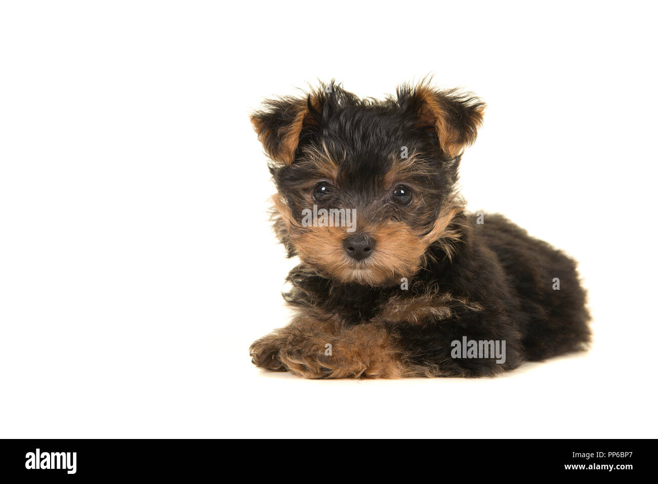 Cute Yorkshire Terrier Yorkie Puppy Lying Down Looking At The