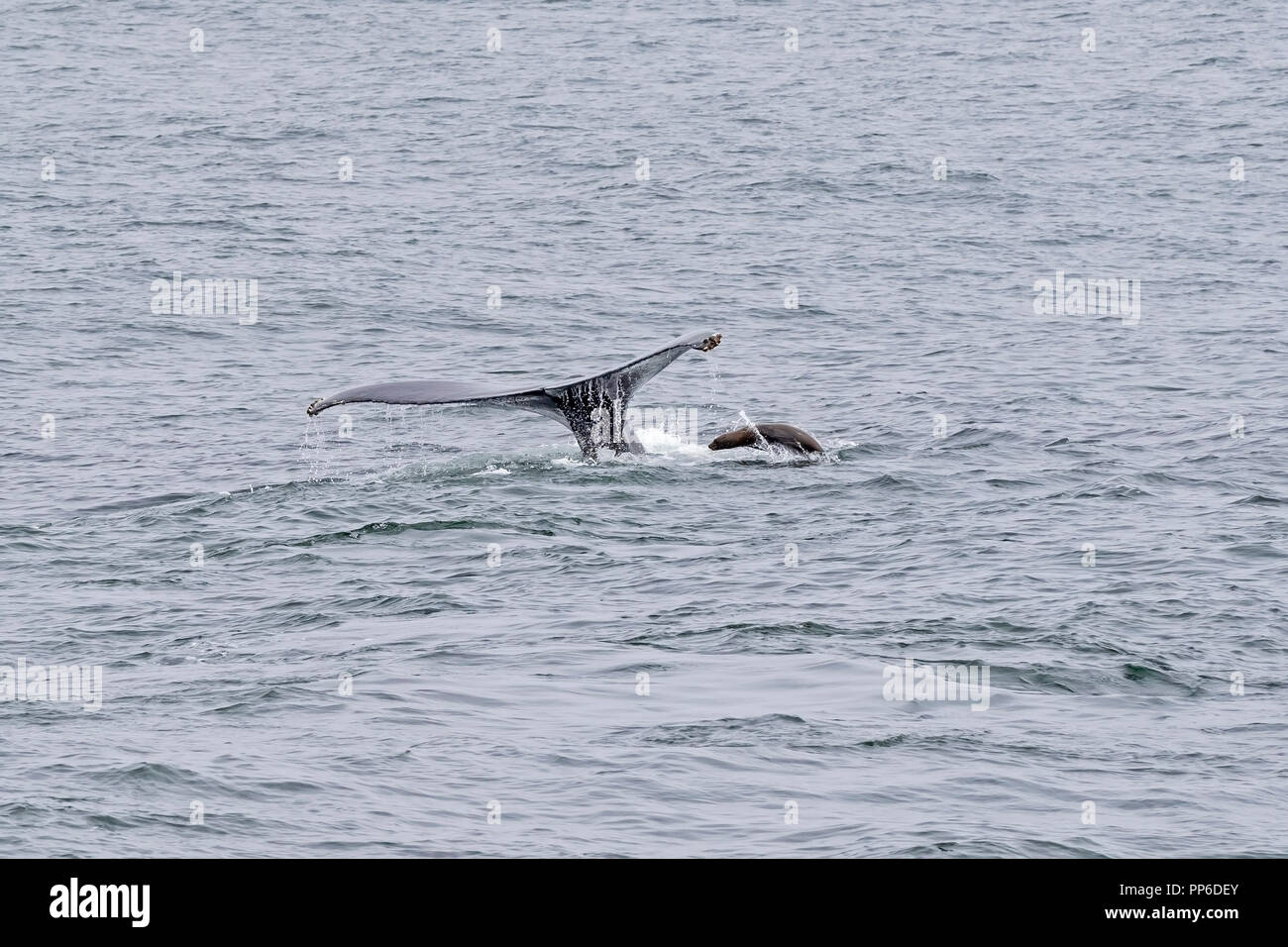 Whale watching humpback whale tail and sea lion - Stock Image