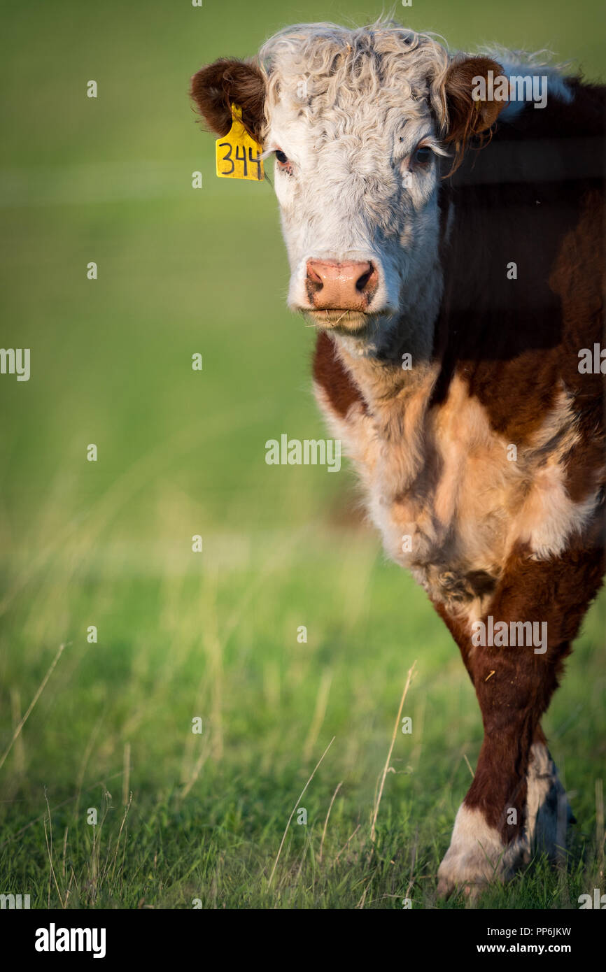 Livestock beef cattle in a Rural pasture in the prairies of Alberta Canada Stock Photo