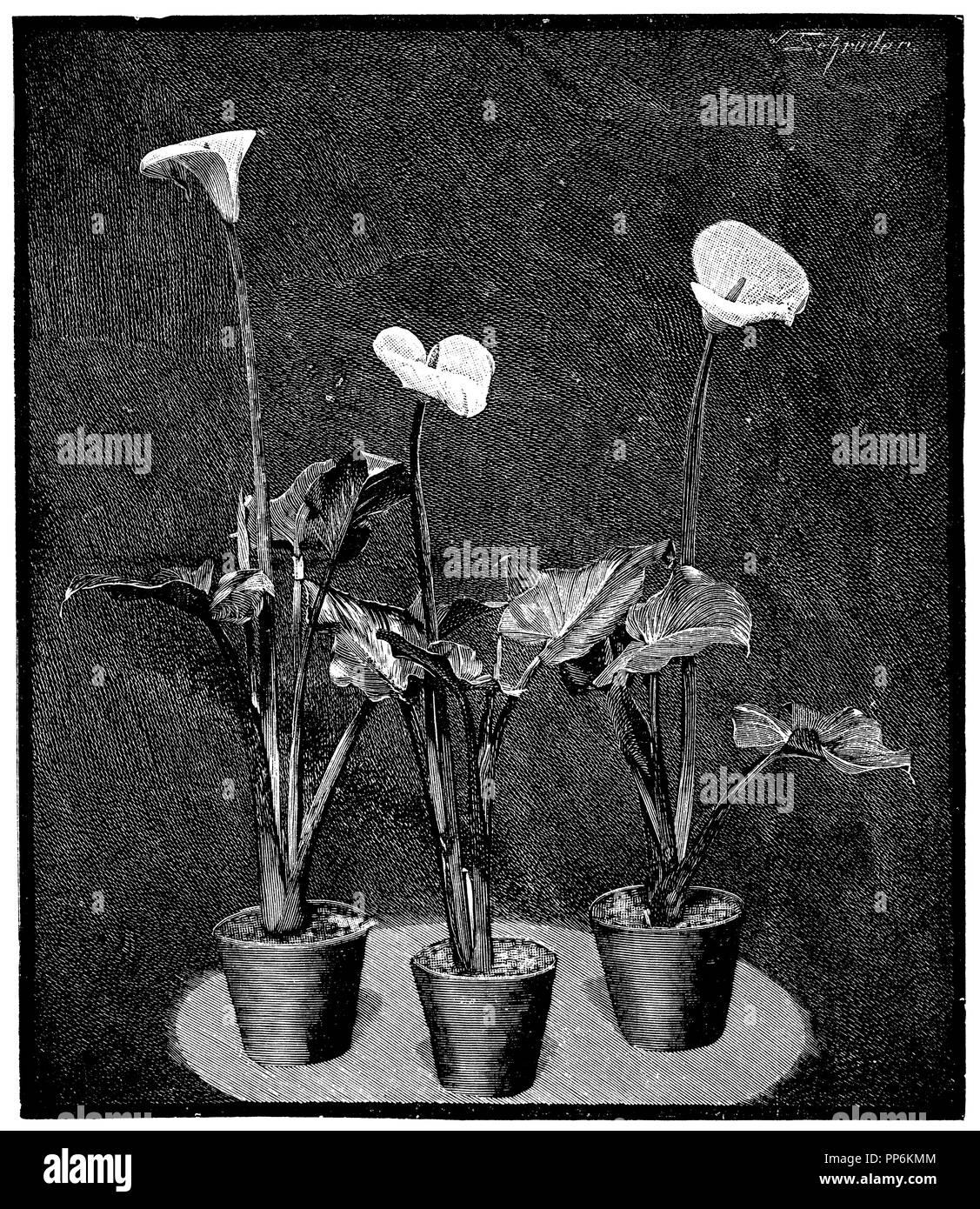 calla lily <Zantedeschia aethiopica>,   1907 - Stock Image