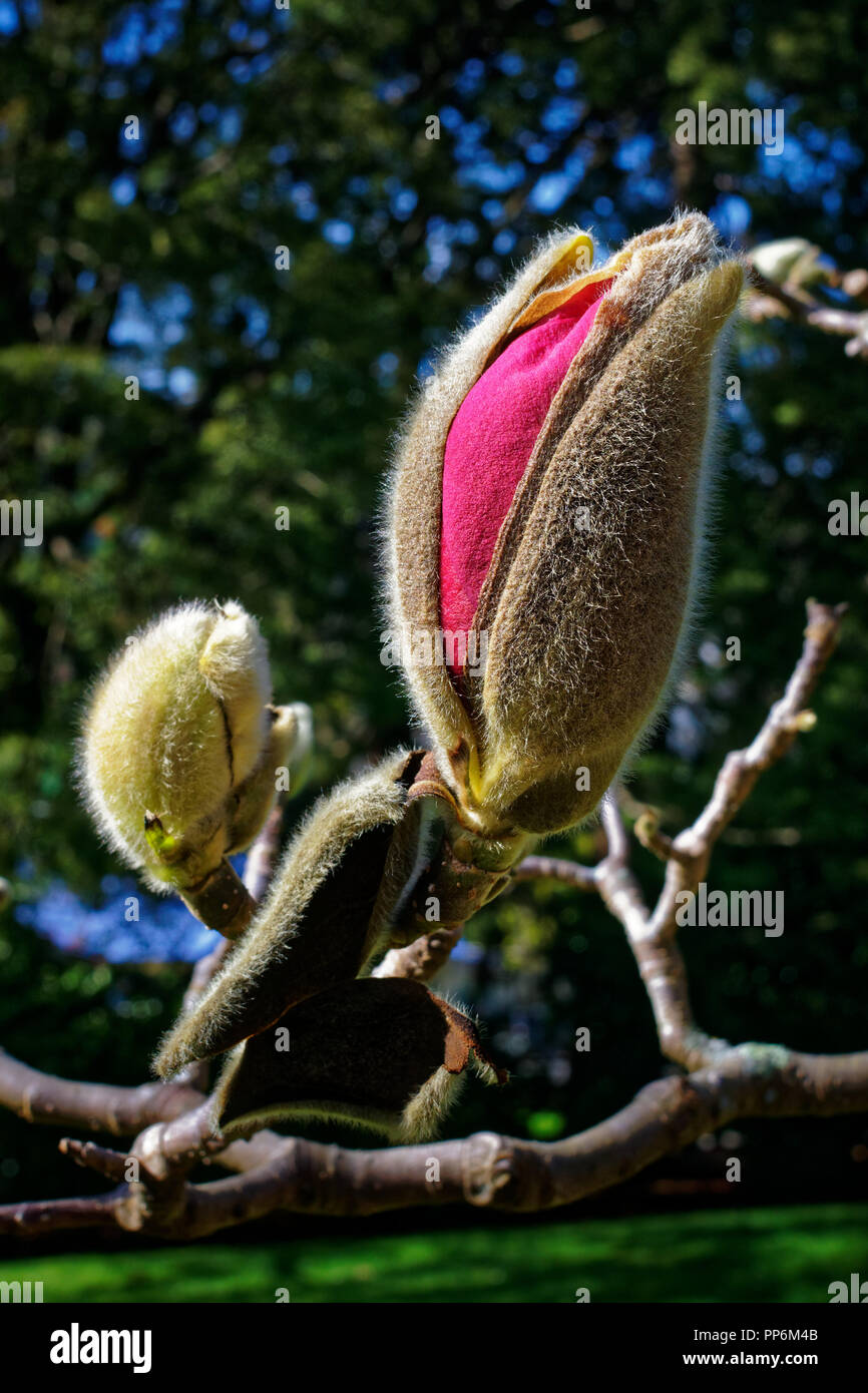 Flower bud bursting in to color - Stock Image