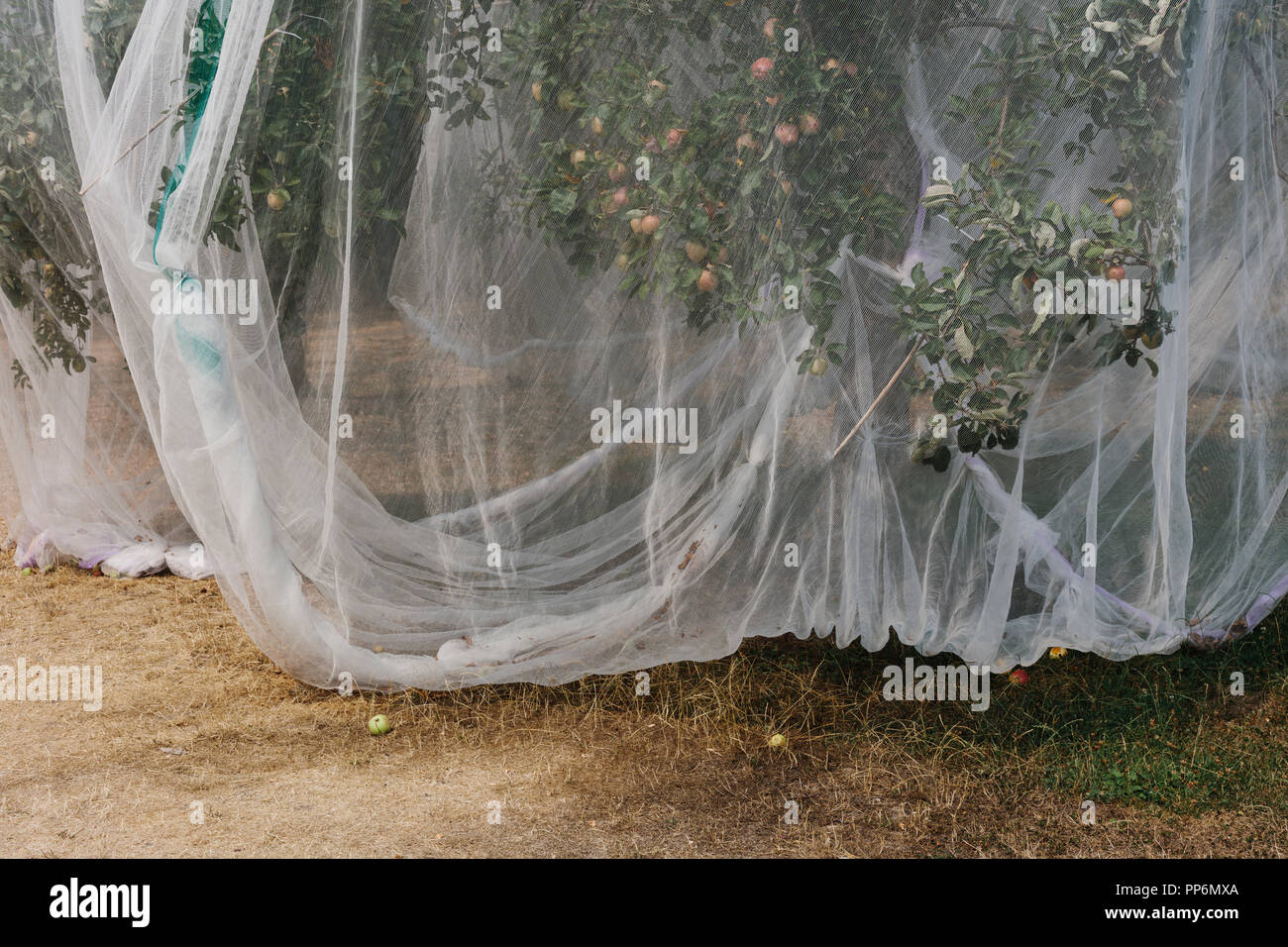 Protective mesh fabric covering apple trees bearing young fruit in summer in a commercial orchard. Pesticide-free farming and food production. - Stock Image