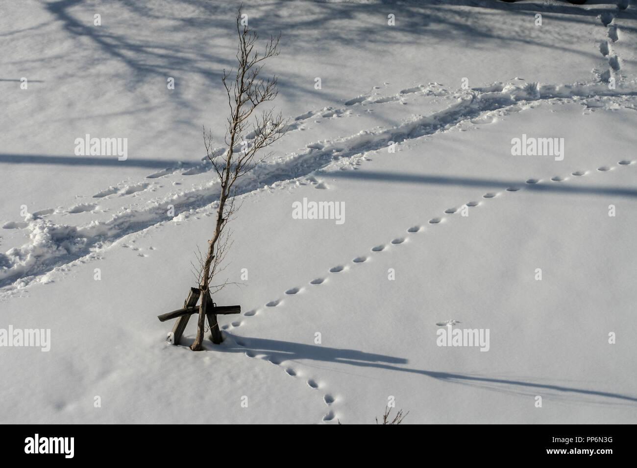 Animal tracks in winter snow, Kanazawa, Japan - Stock Image