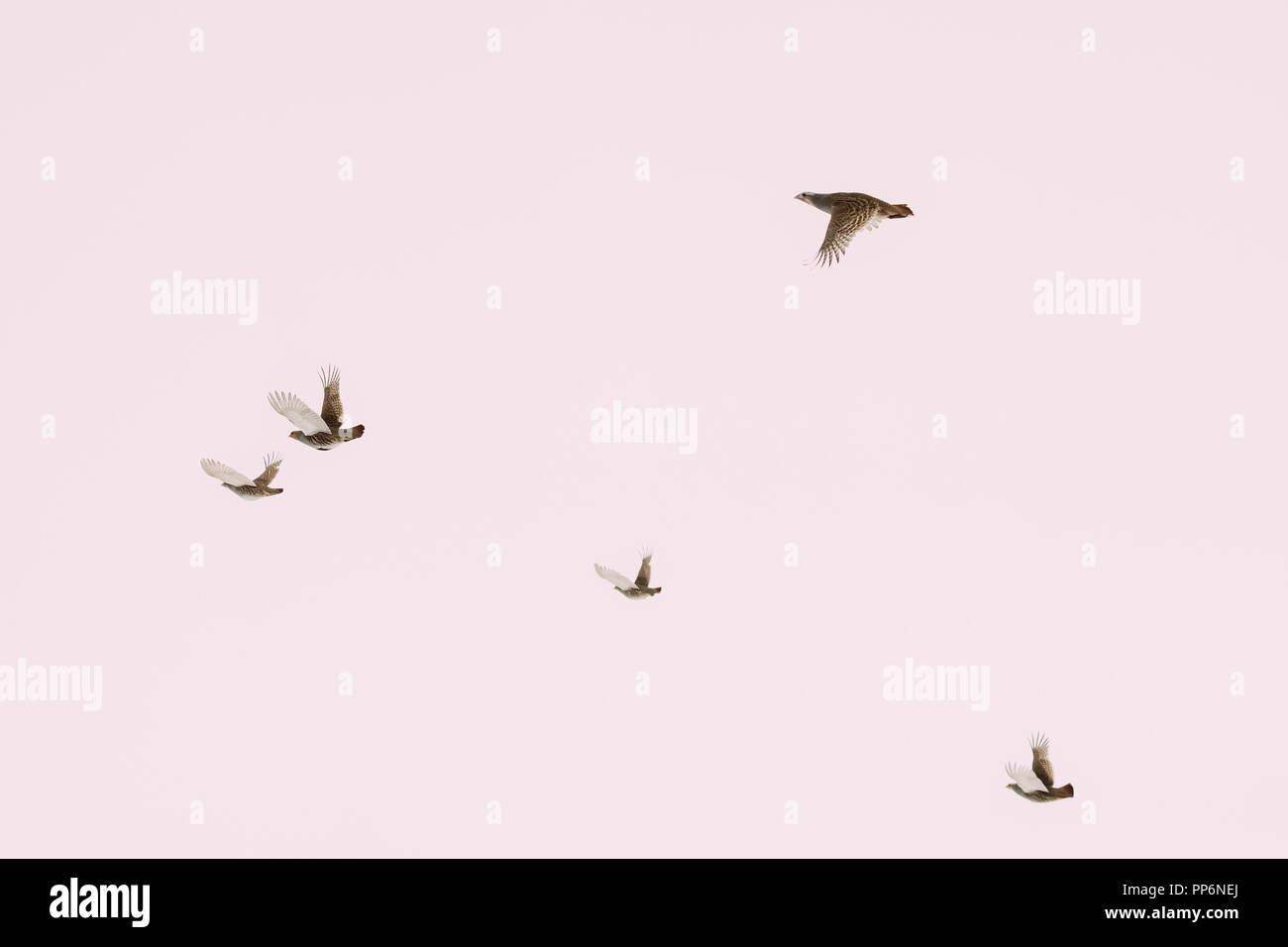 Belarus. Group Of Wild Perdix Birds Or True Partridges Flying In Winter Sky. - Stock Image