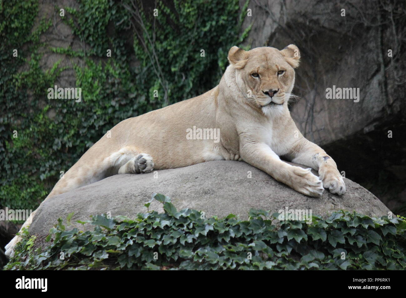 Chicago's Lincoln Park Zoo's lioness, Panthera leo, perched on a huge boulder, posing for photographs. - Stock Image